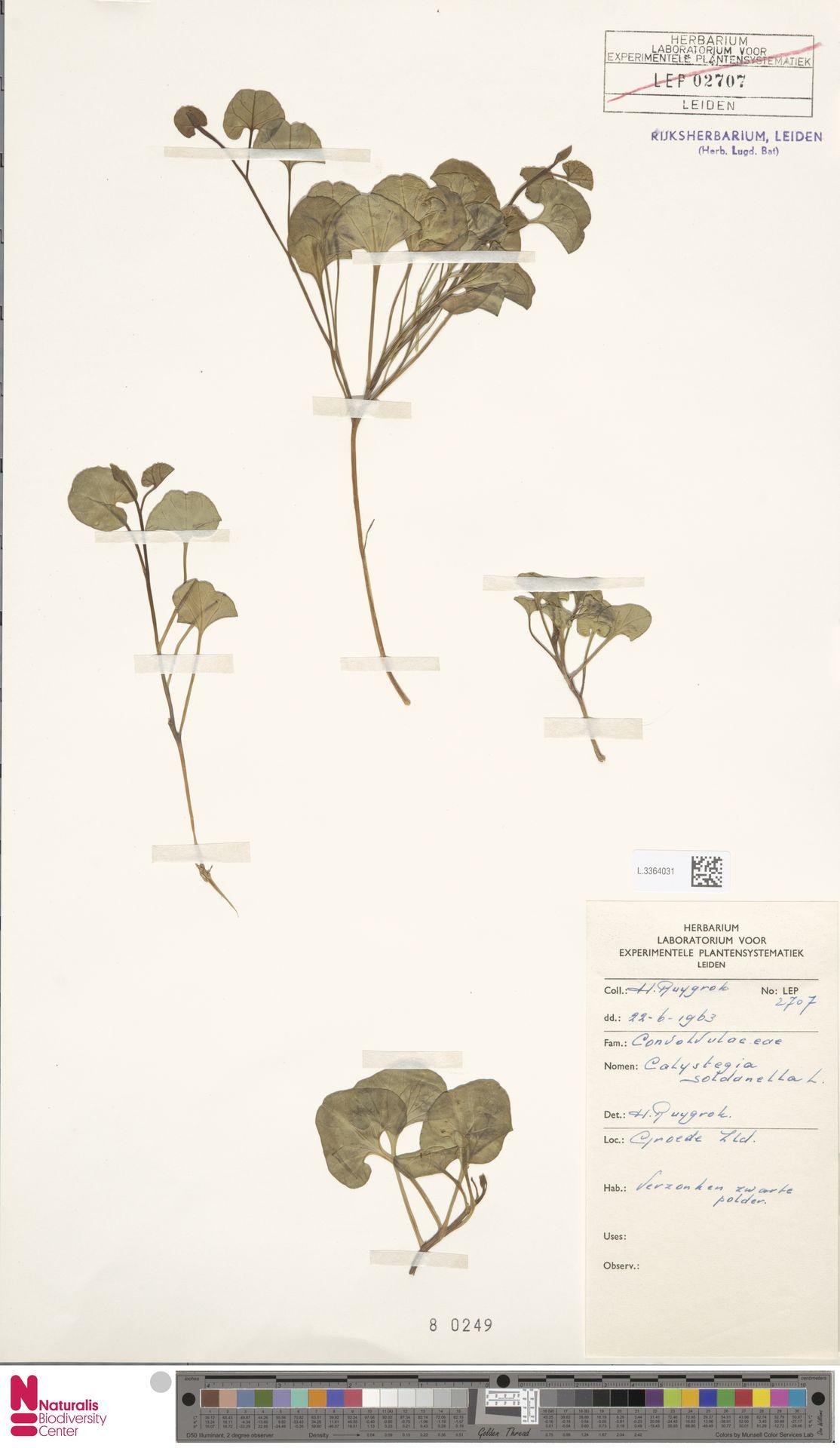 L.3364031   Calystegia soldanella (L.) R.Br.