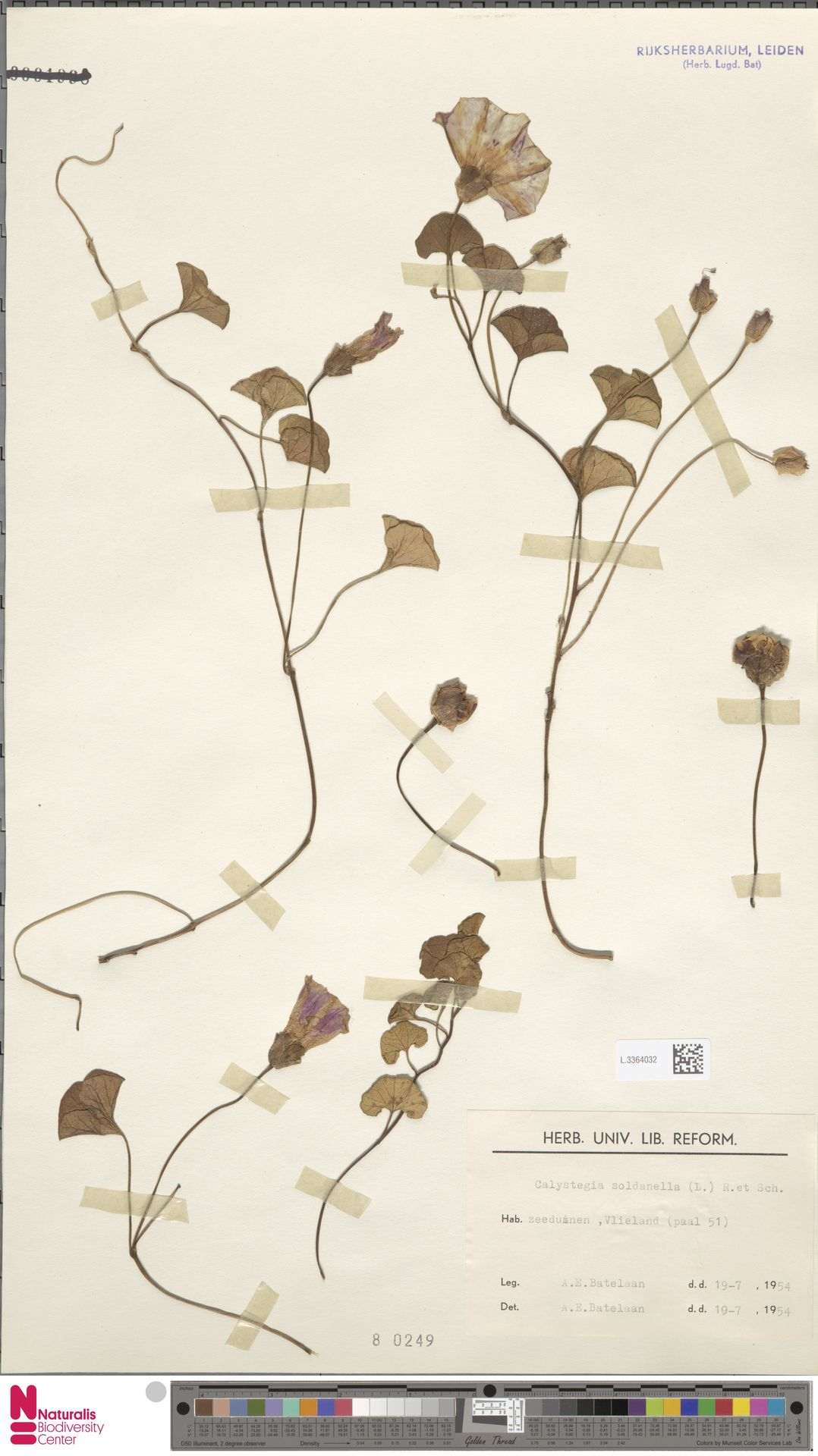 L.3364032 | Calystegia soldanella (L.) R.Br.