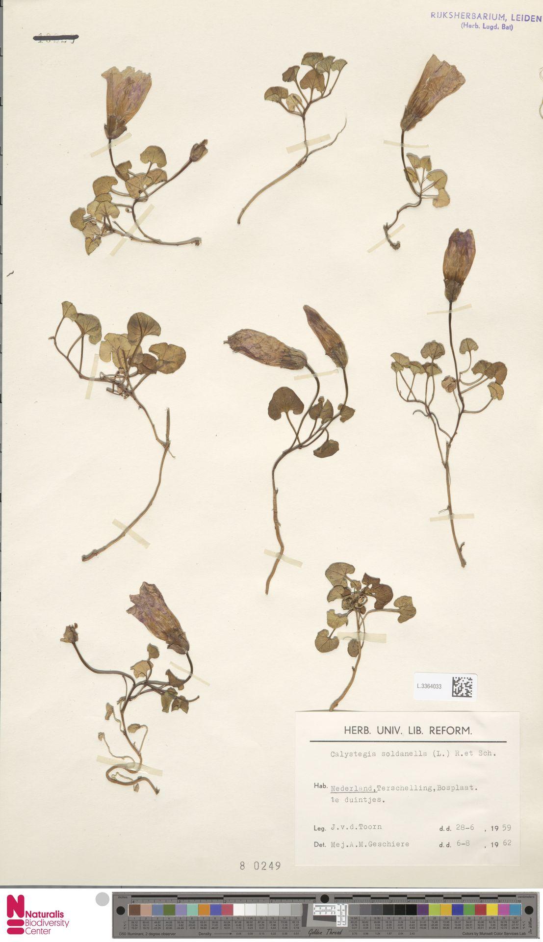 L.3364033 | Calystegia soldanella (L.) R.Br.