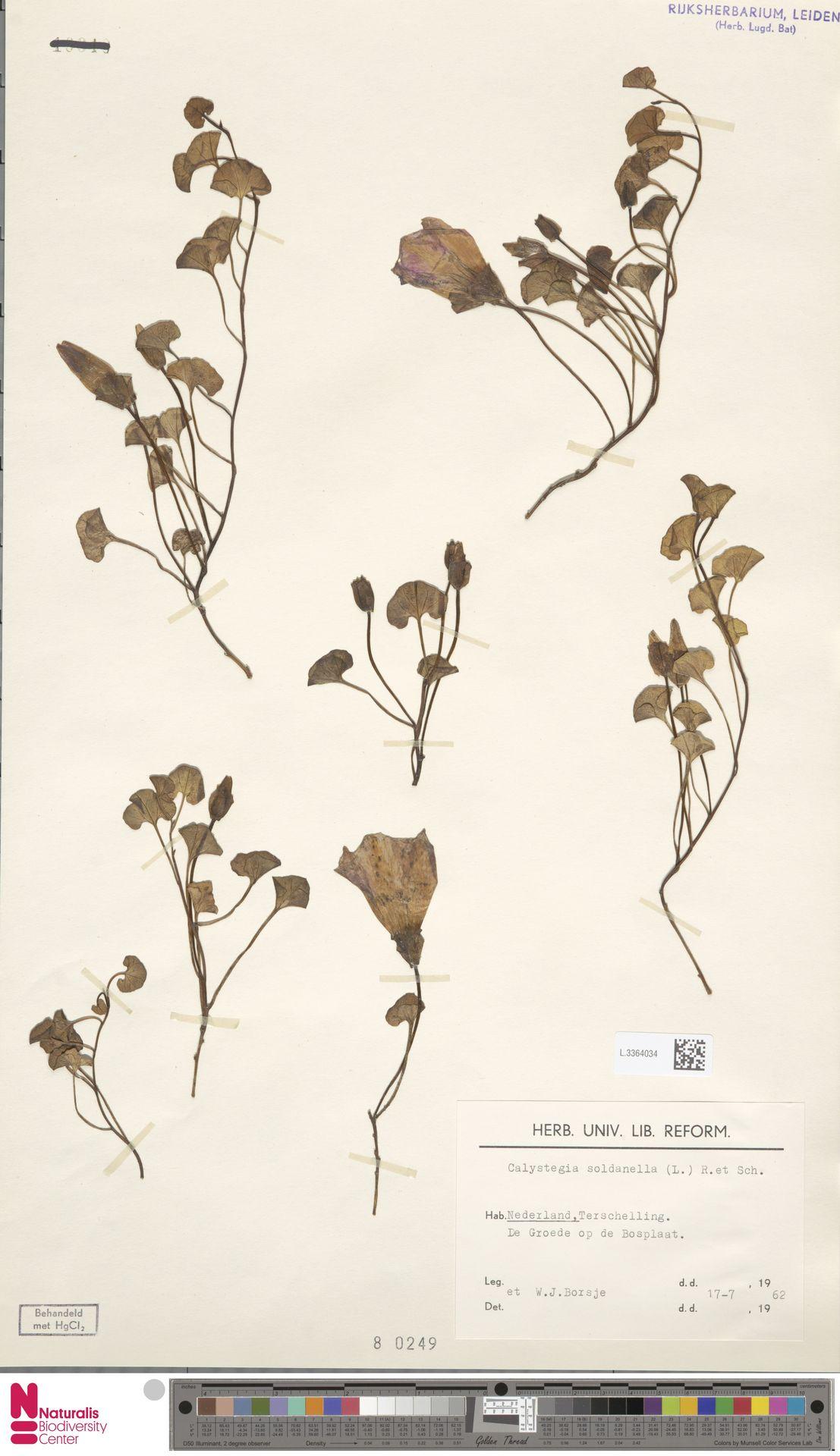 L.3364034 | Calystegia soldanella (L.) R.Br.