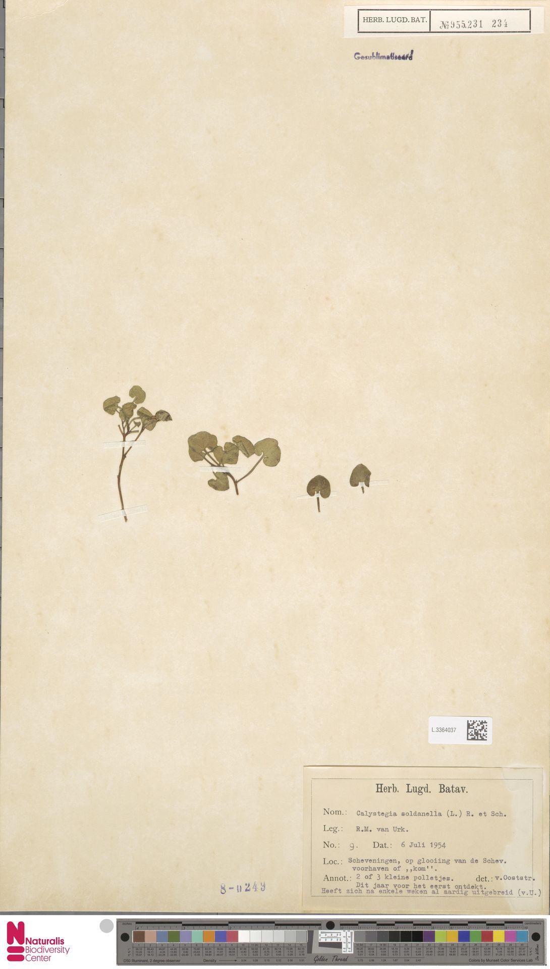 L.3364037 | Calystegia soldanella (L.) R.Br.