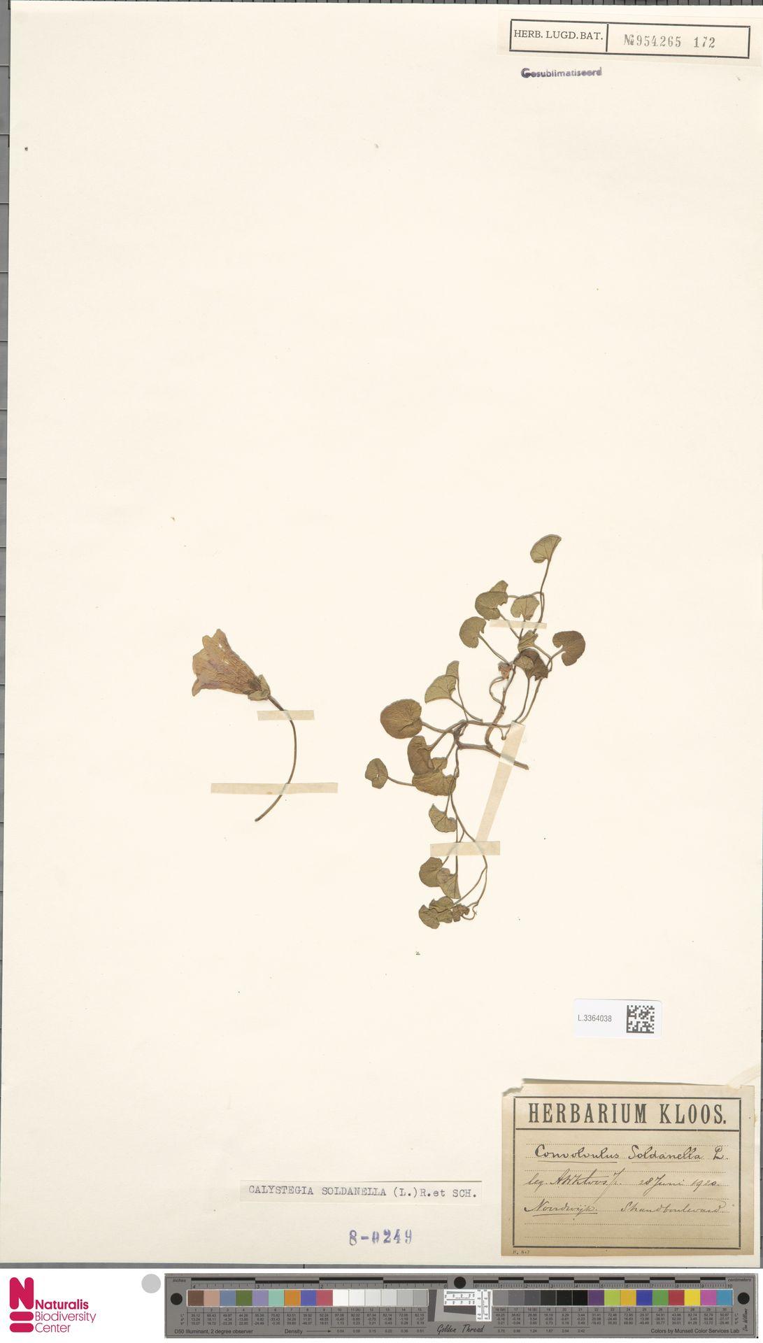 L.3364038 | Calystegia soldanella (L.) R.Br.