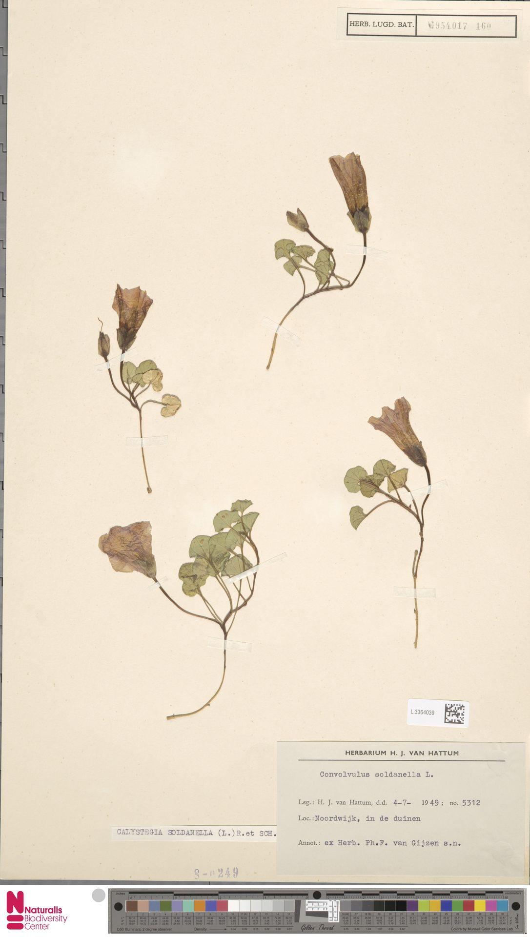 L.3364039 | Calystegia soldanella (L.) R.Br.