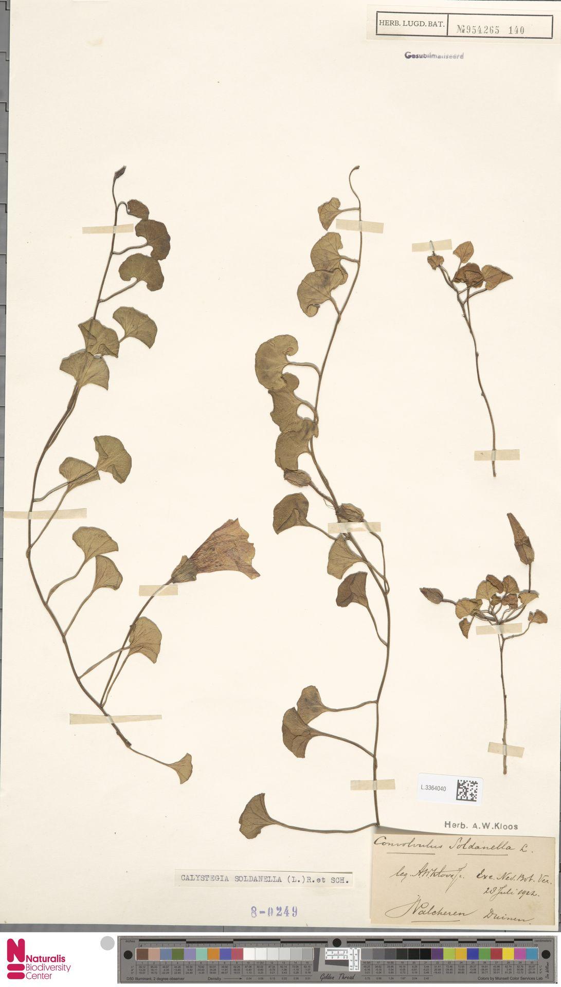 L.3364040 | Calystegia soldanella (L.) R.Br.