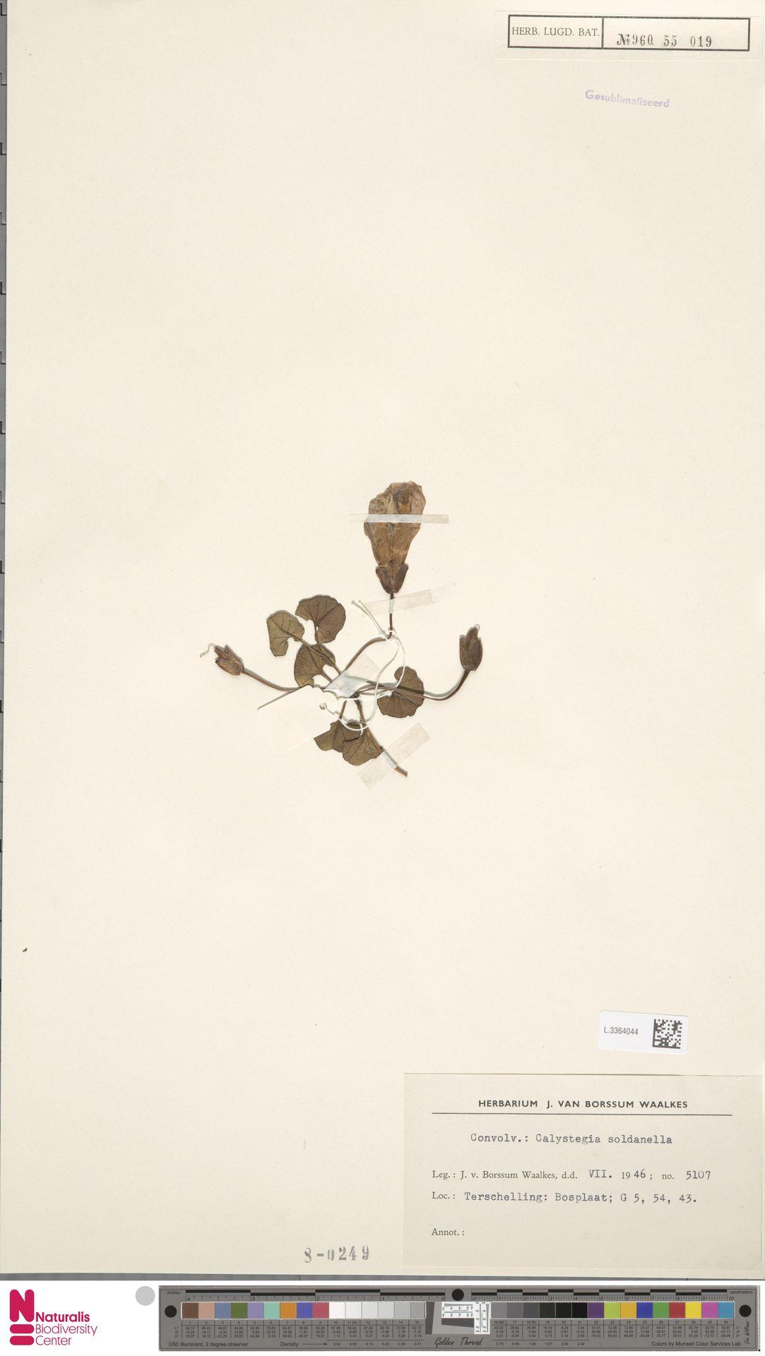 L.3364044   Calystegia soldanella (L.) R.Br.