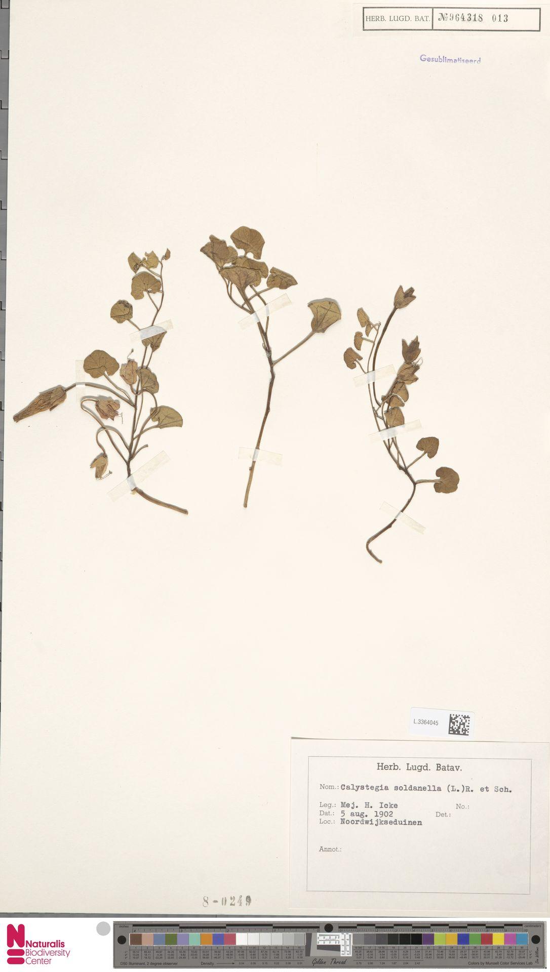 L.3364045 | Calystegia soldanella (L.) R.Br.