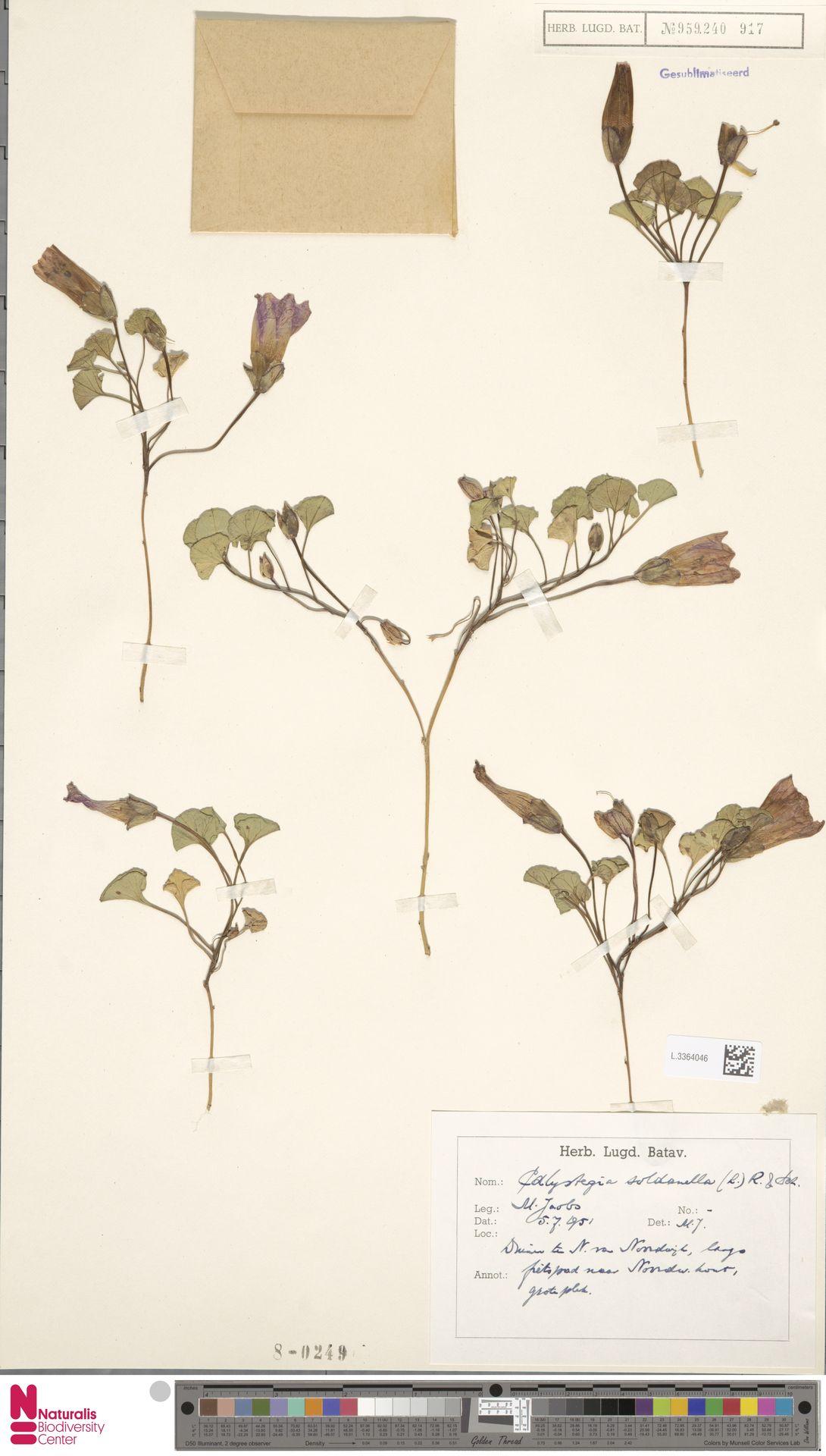 L.3364046 | Calystegia soldanella (L.) R.Br.