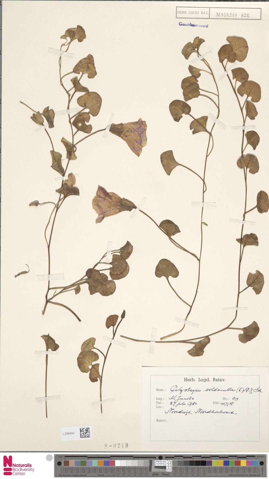 L.3364047 | Calystegia soldanella (L.) R.Br.