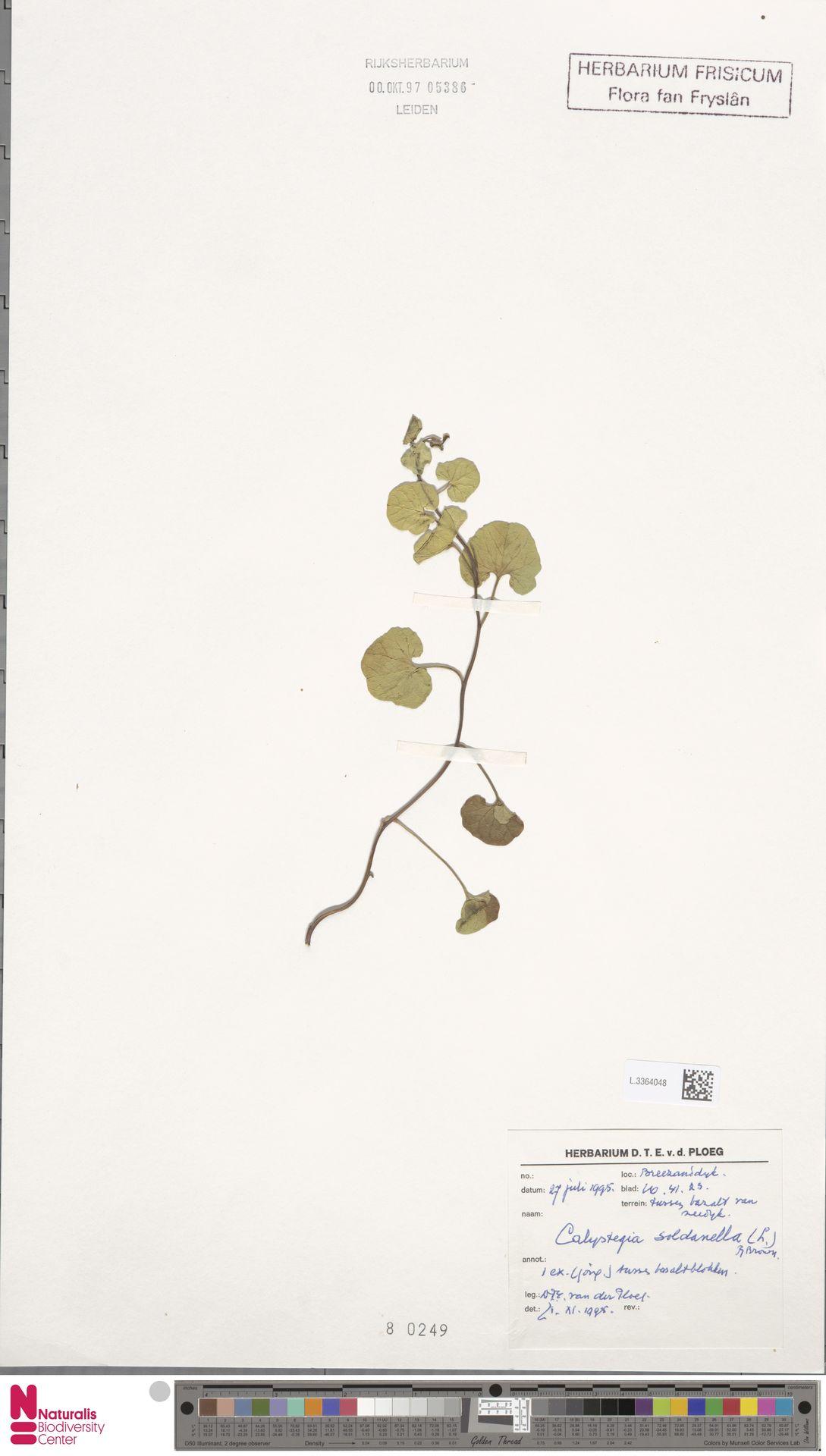 L.3364048 | Calystegia soldanella (L.) R.Br.