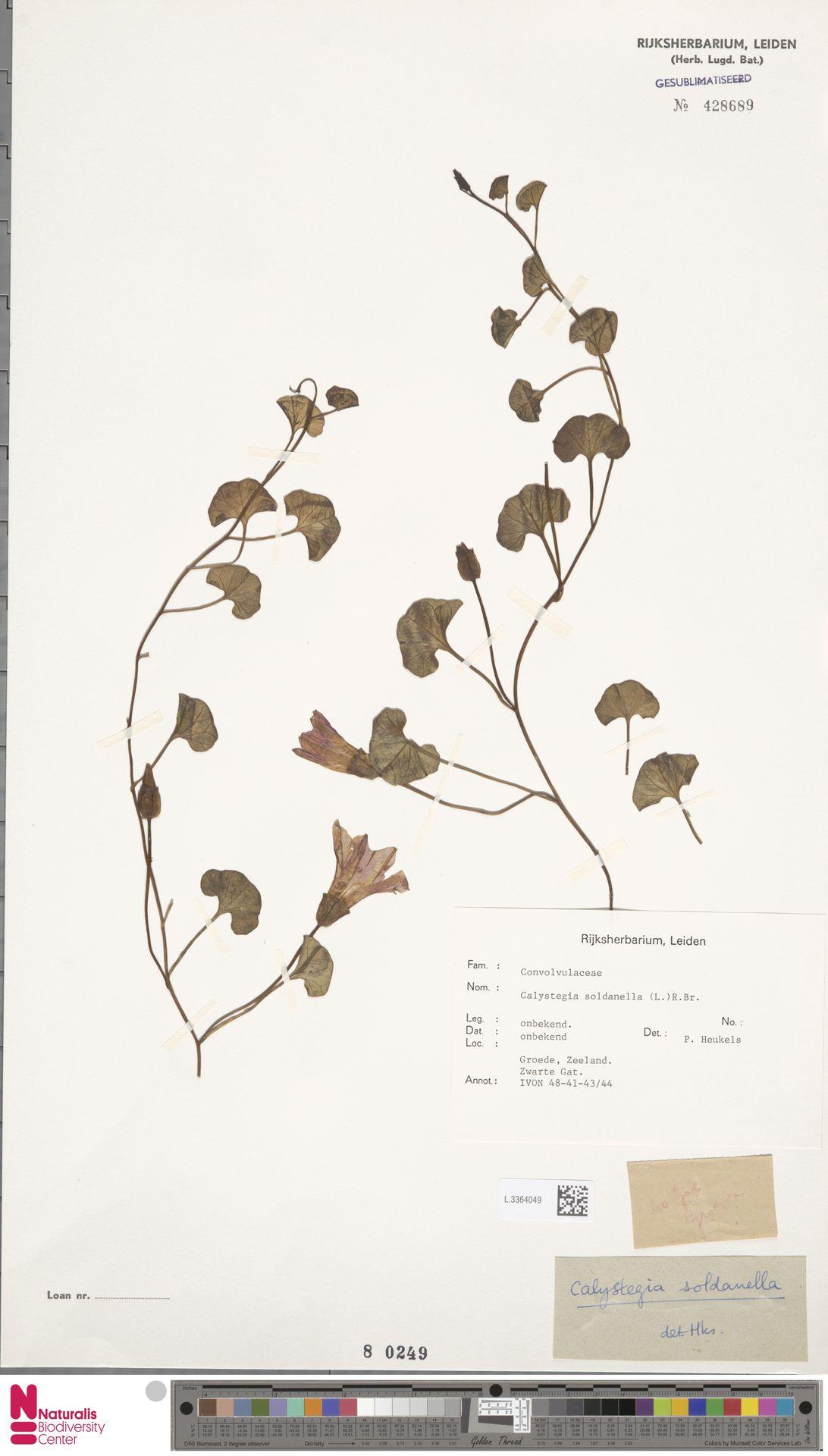 L.3364049 | Calystegia soldanella (L.) R.Br.
