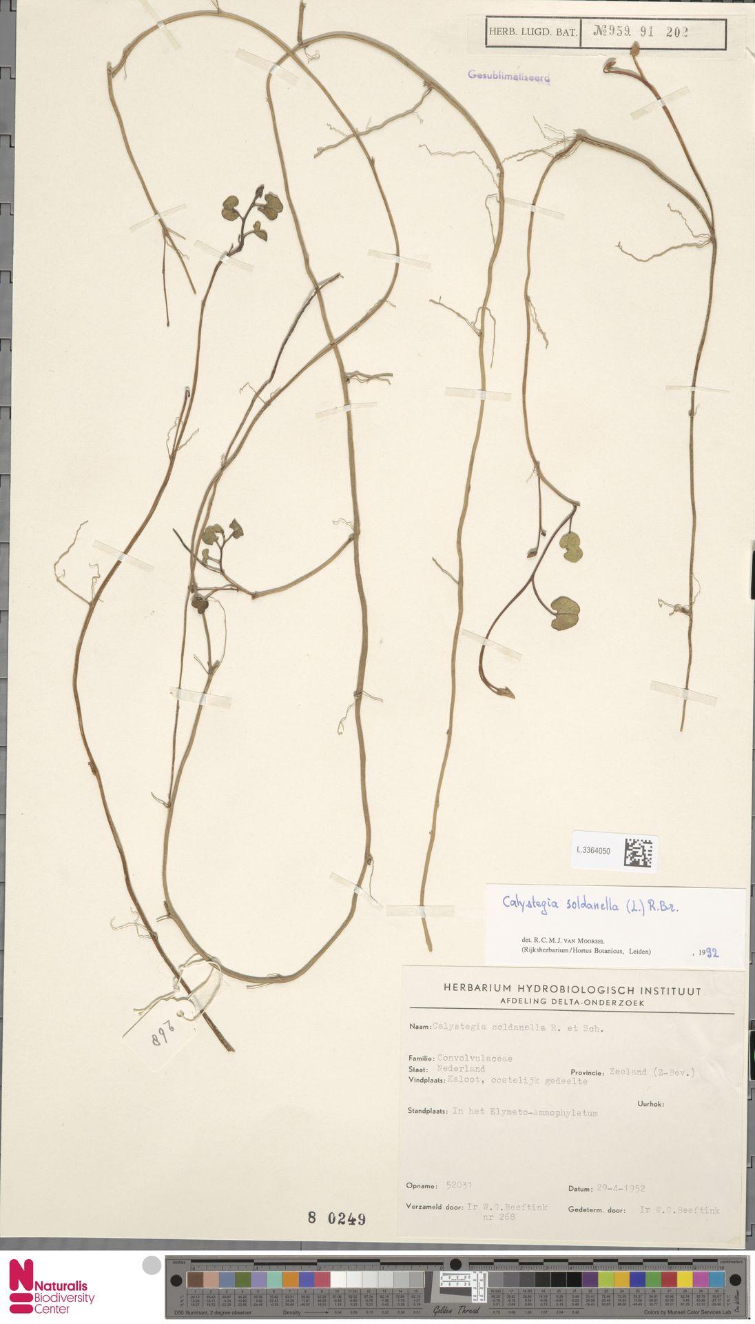 L.3364050 | Calystegia soldanella (L.) R.Br.