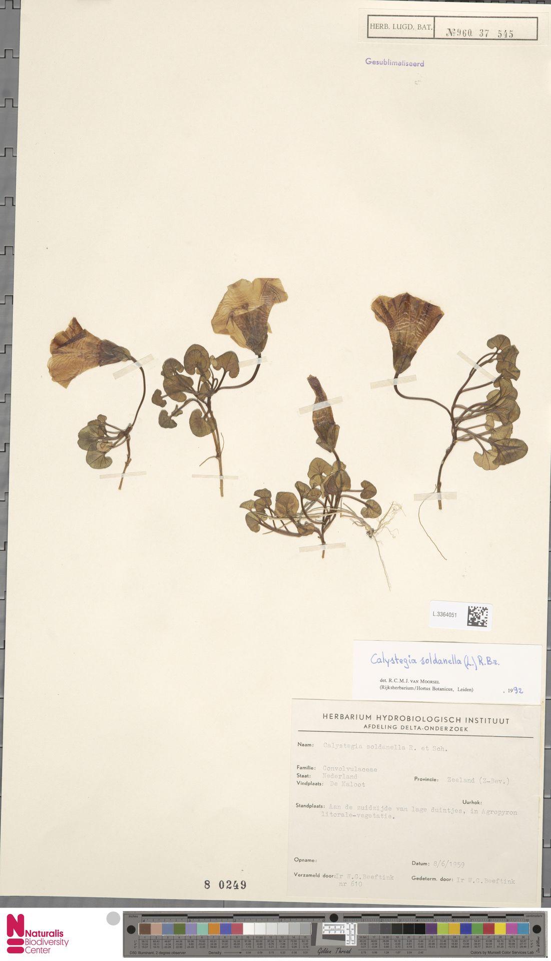L.3364051 | Calystegia soldanella (L.) R.Br.
