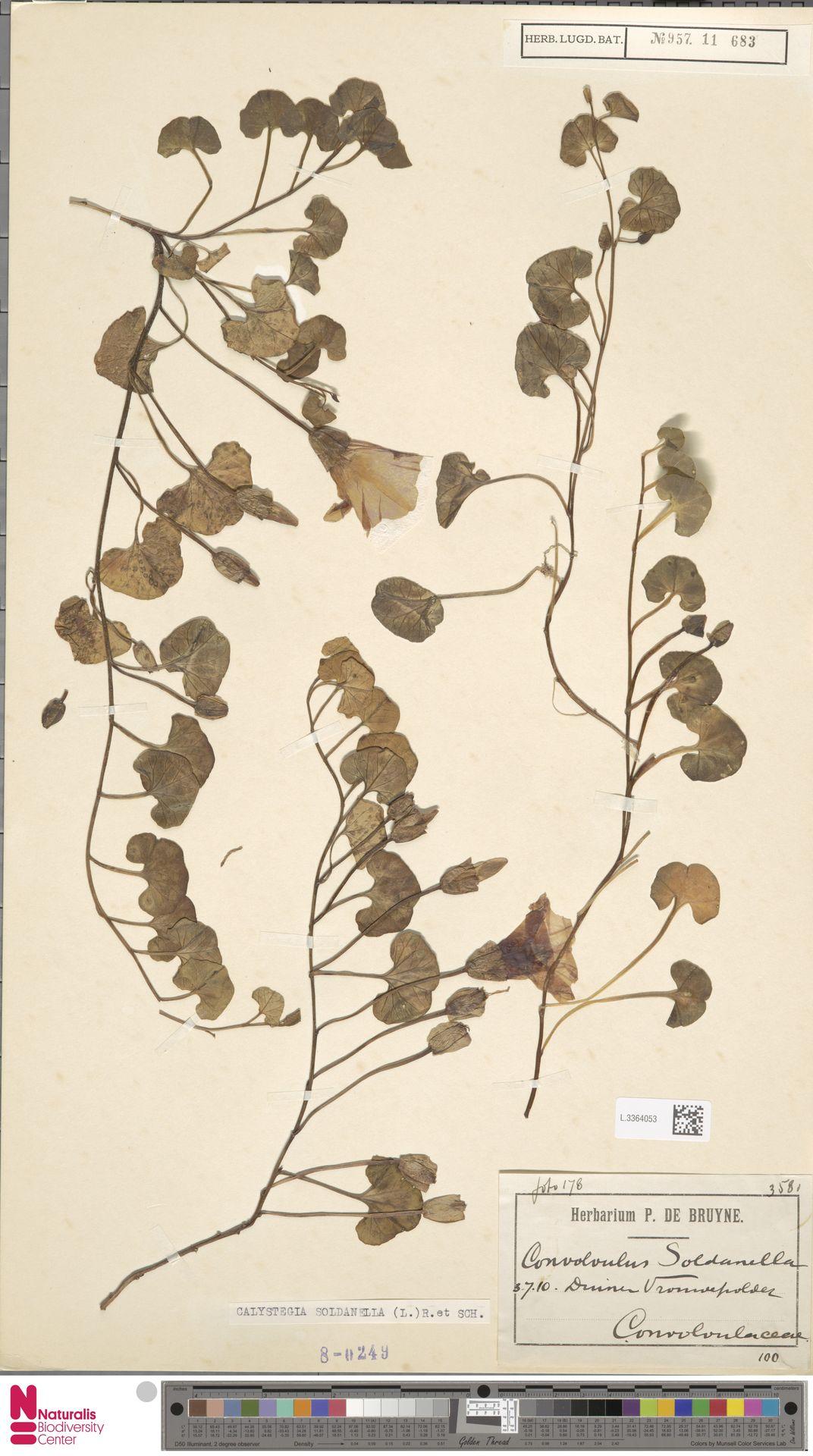 L.3364053 | Calystegia soldanella (L.) R.Br.