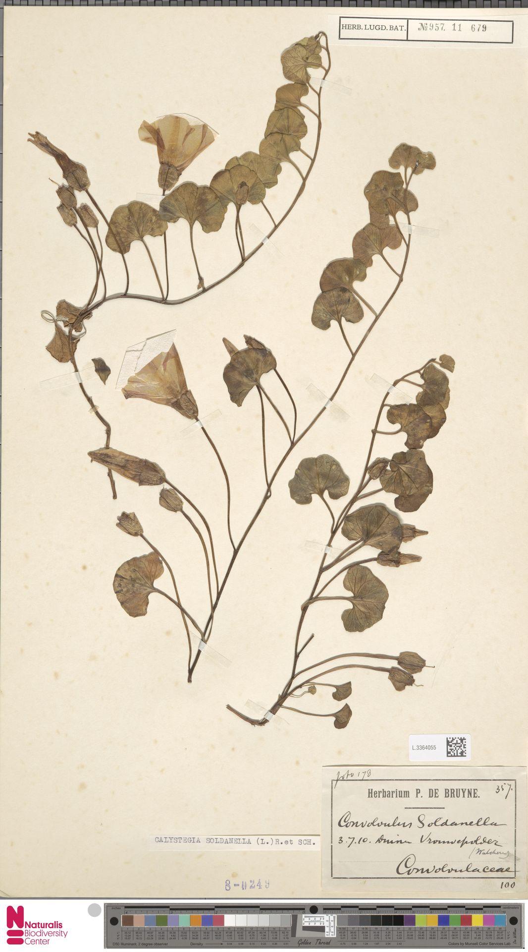 L.3364055 | Calystegia soldanella (L.) R.Br.