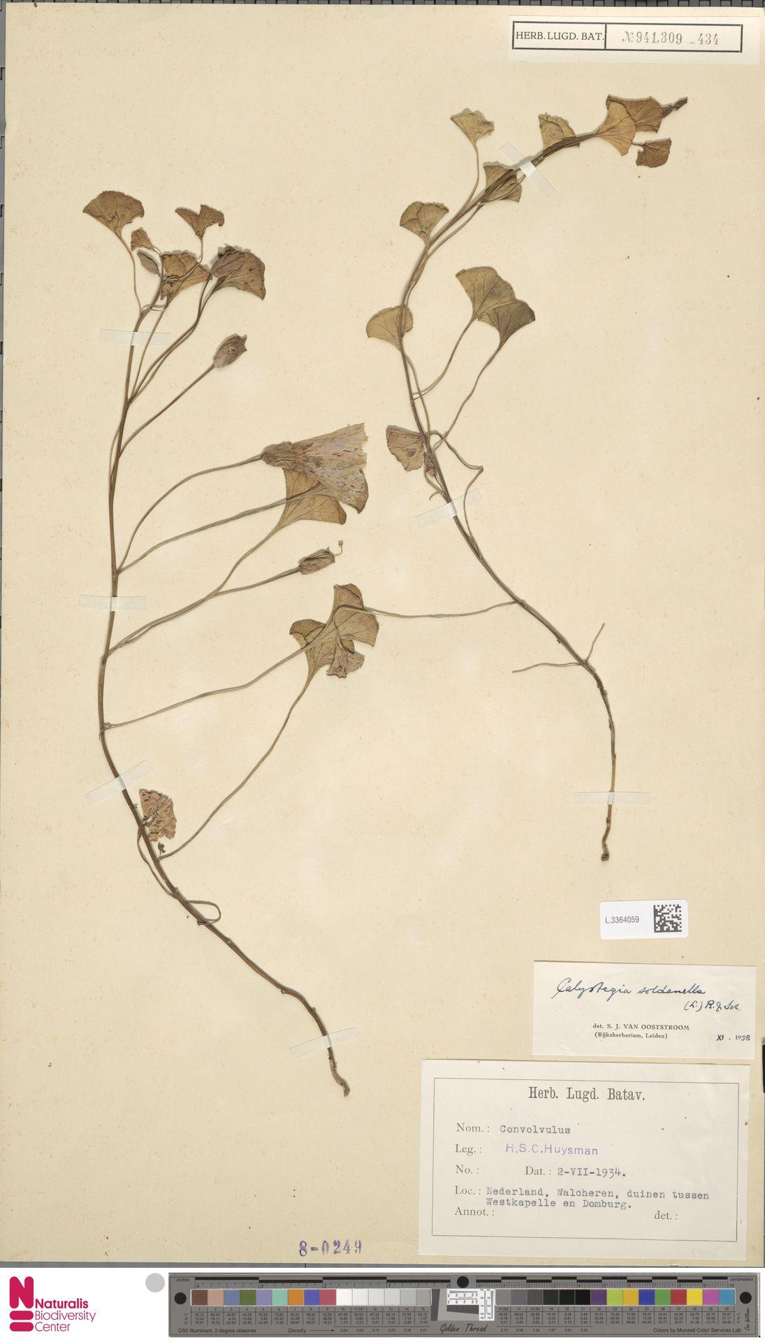 L.3364059 | Calystegia soldanella (L.) R.Br.