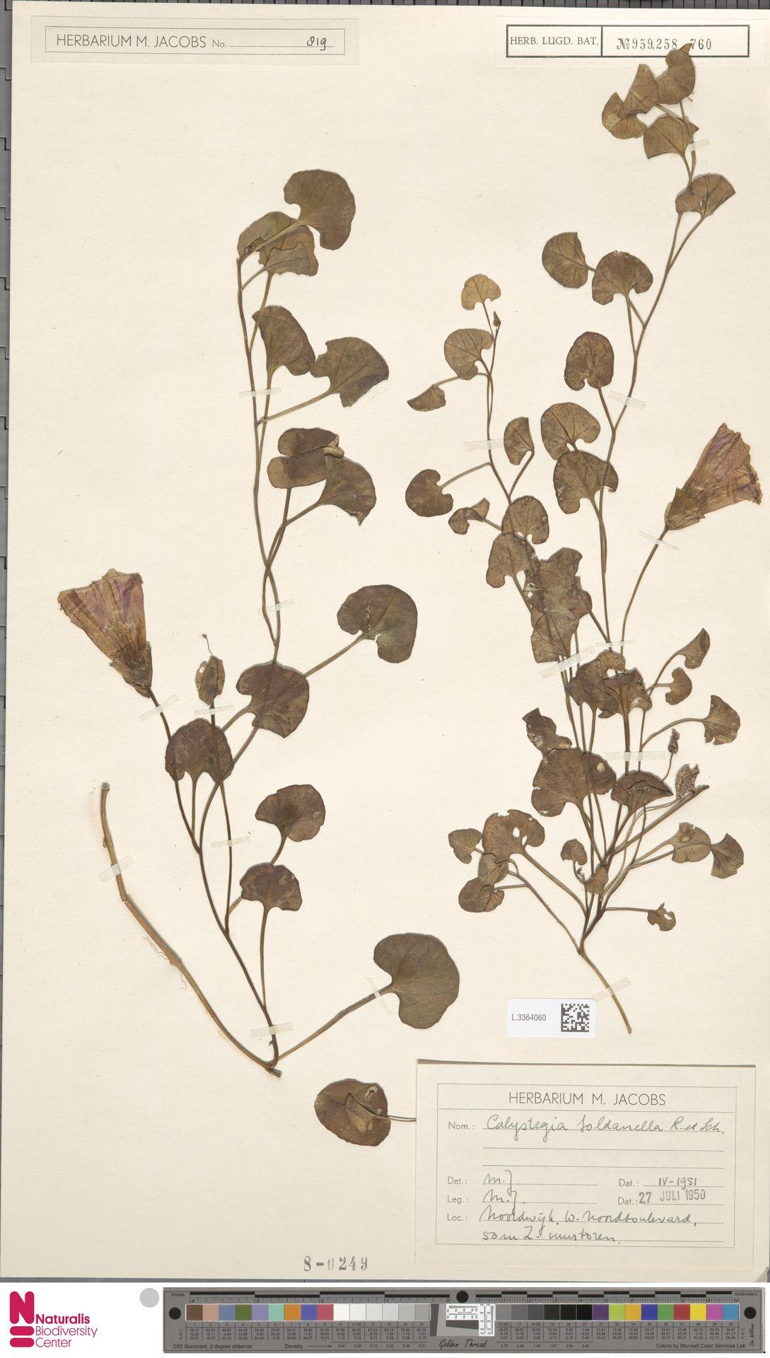 L.3364060 | Calystegia soldanella (L.) R.Br.