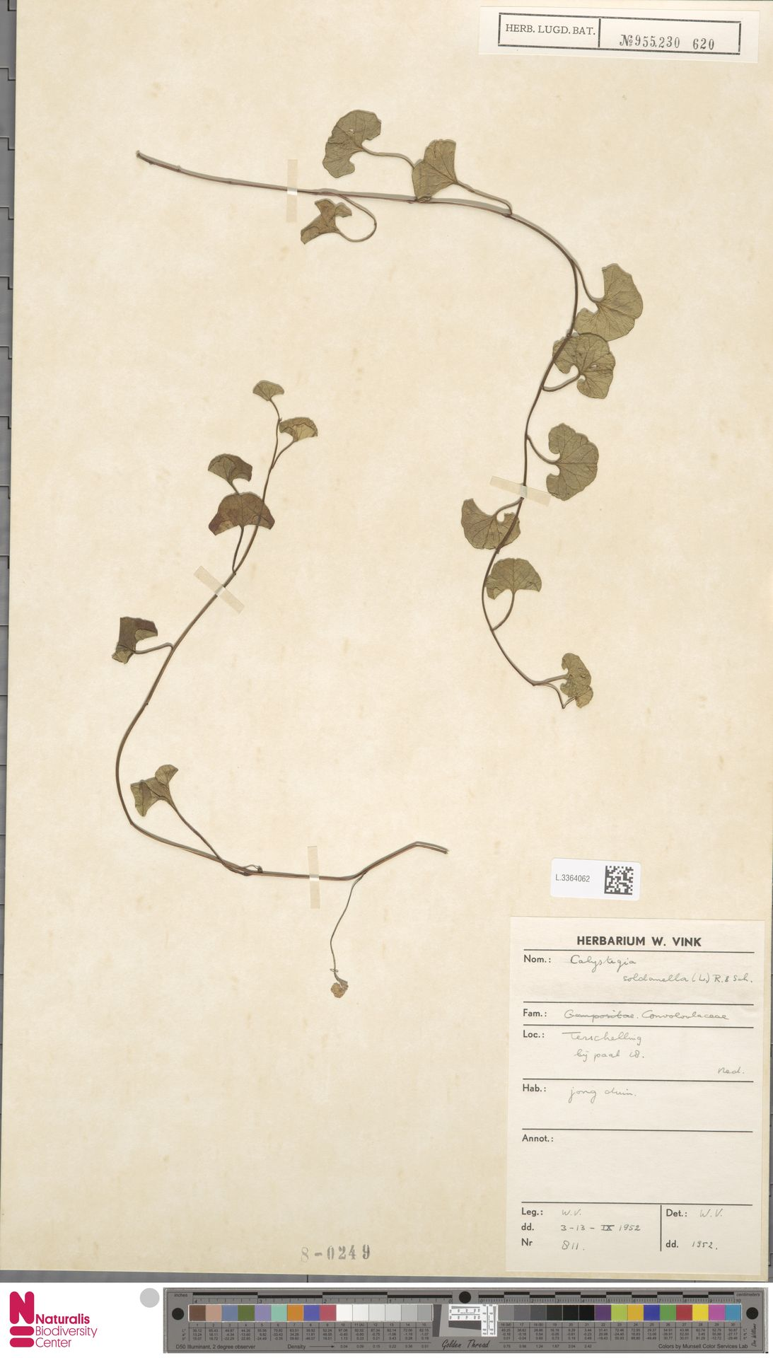 L.3364062 | Calystegia soldanella (L.) R.Br.
