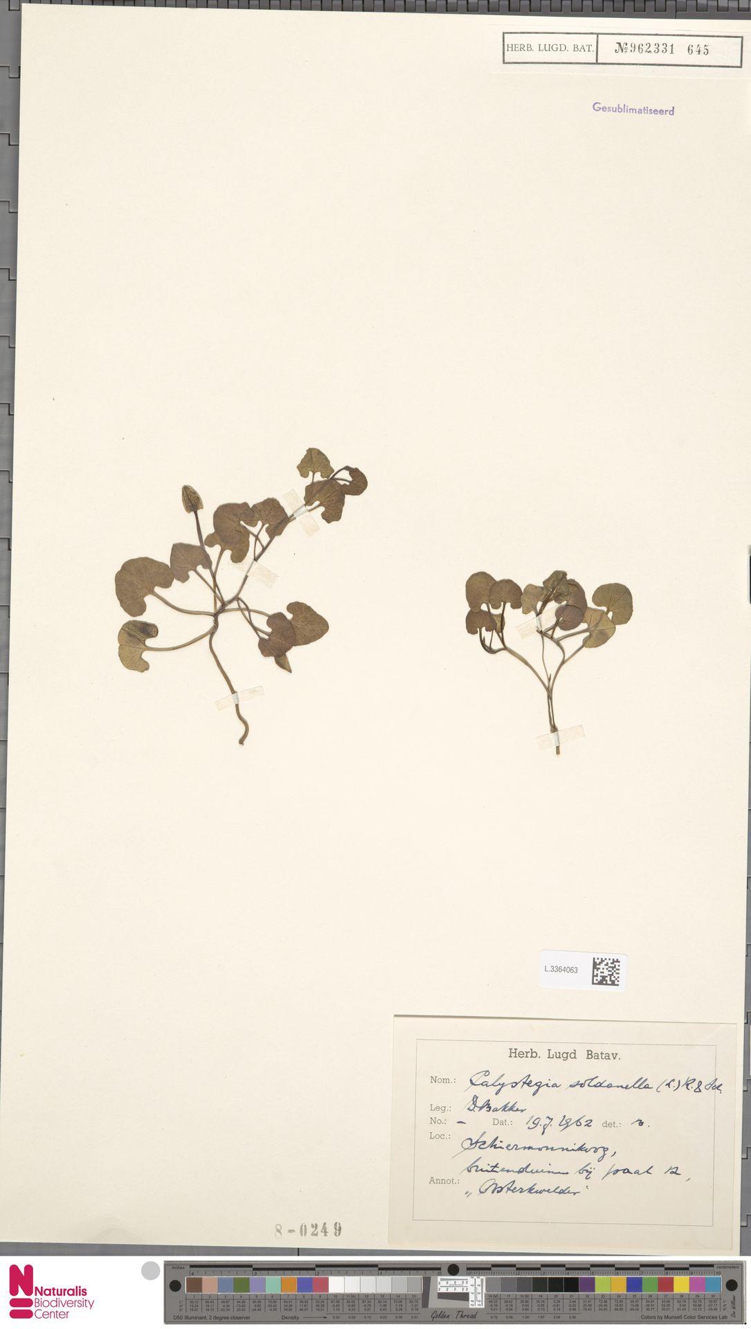 L.3364063 | Calystegia soldanella (L.) R.Br.