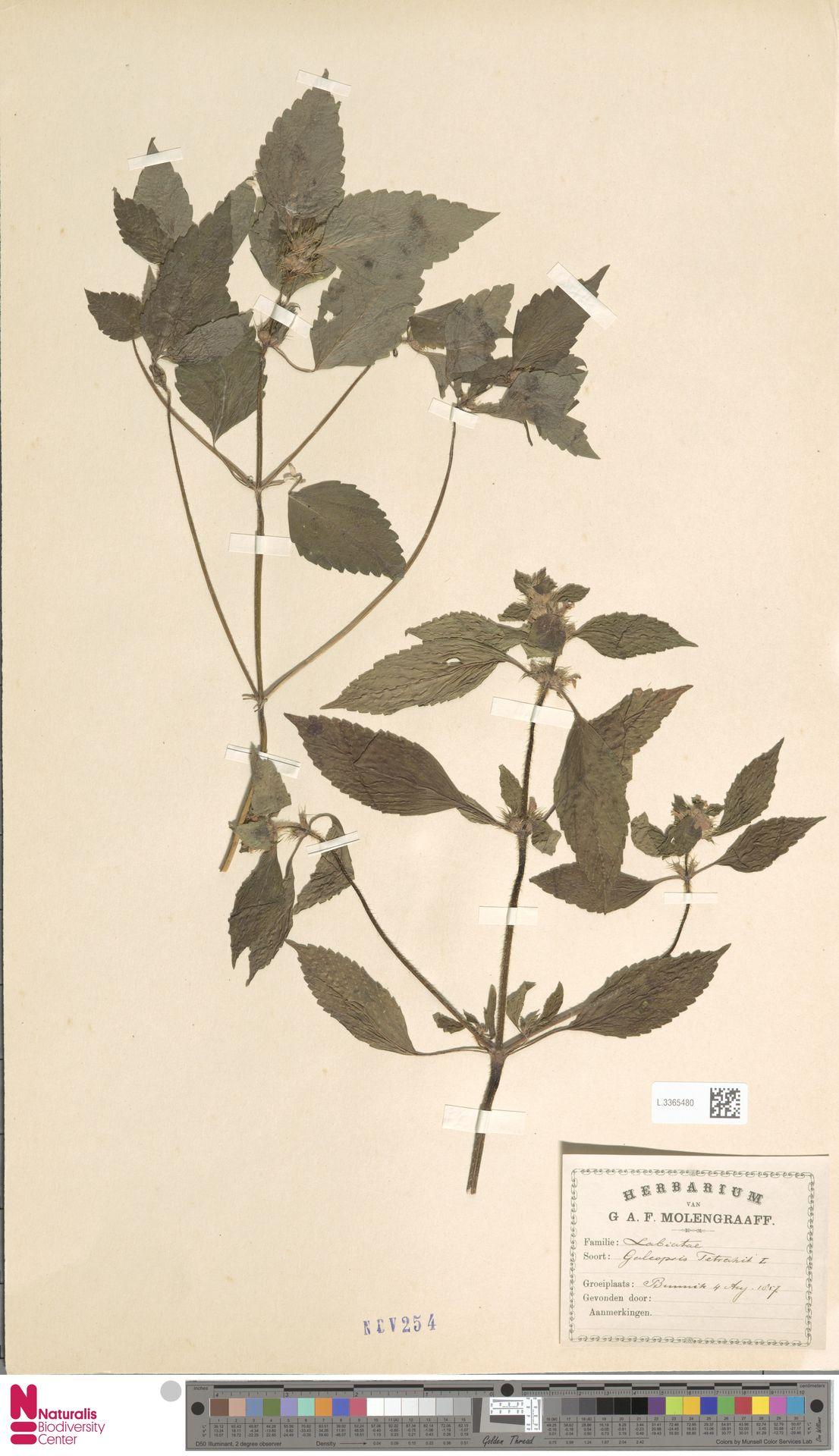 L.3365480 | Galeopsis tetrahit L.