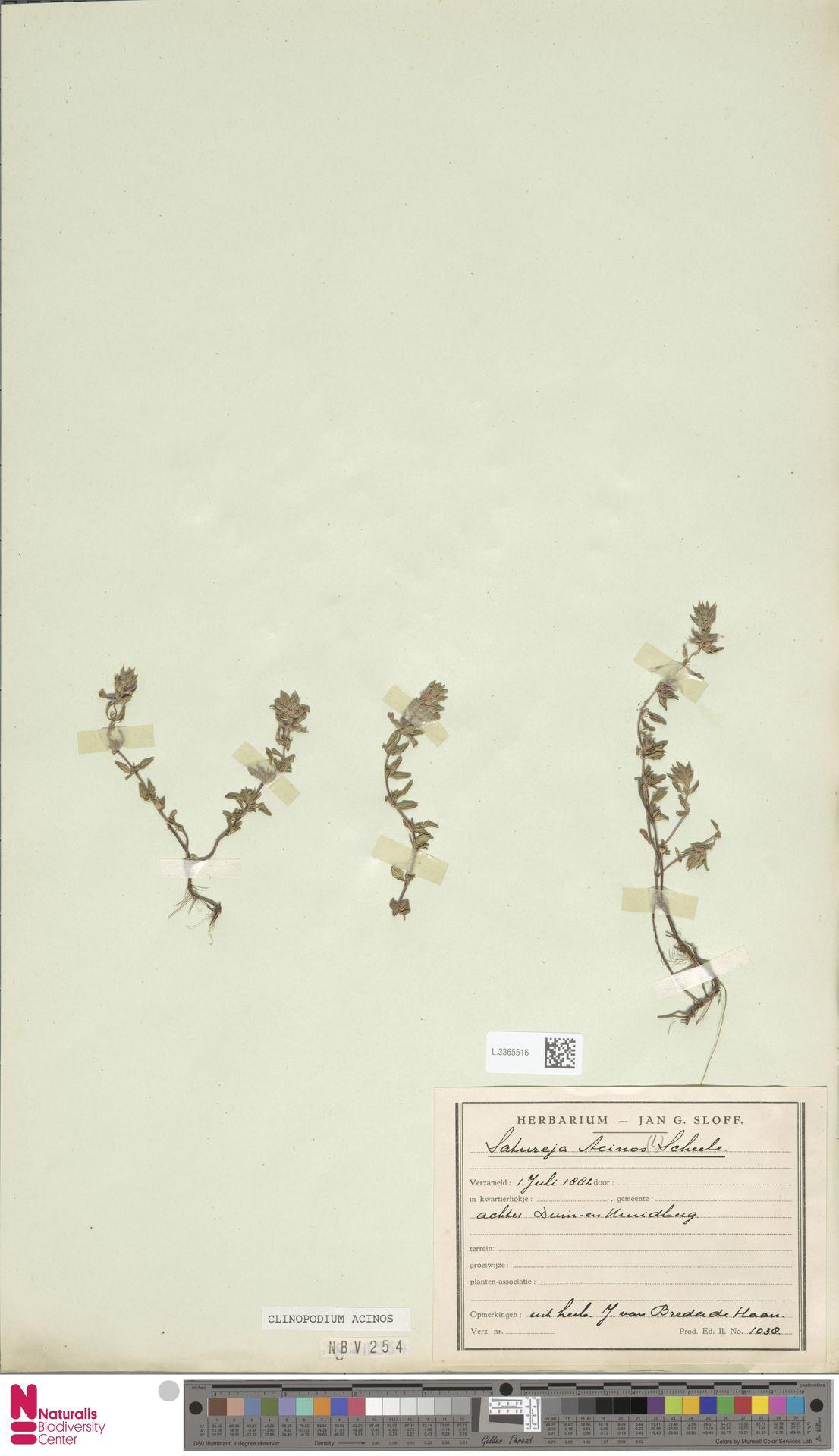 L.3365516 | Clinopodium acinos (L.) Kuntze