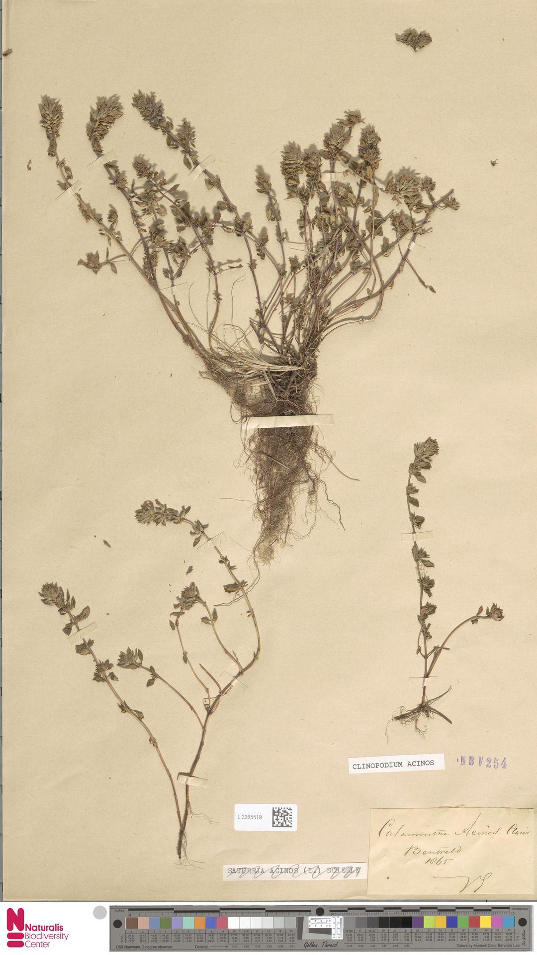 L.3365519 | Clinopodium acinos (L.) Kuntze