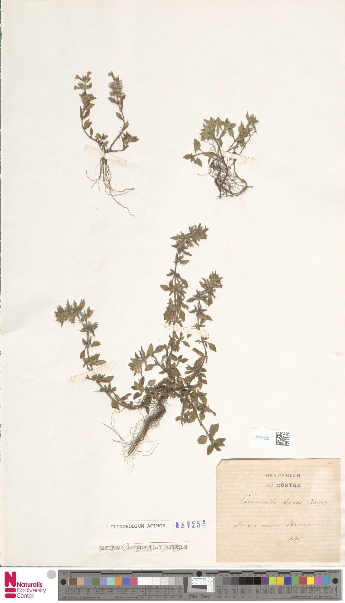 L.3365522 | Clinopodium acinos (L.) Kuntze