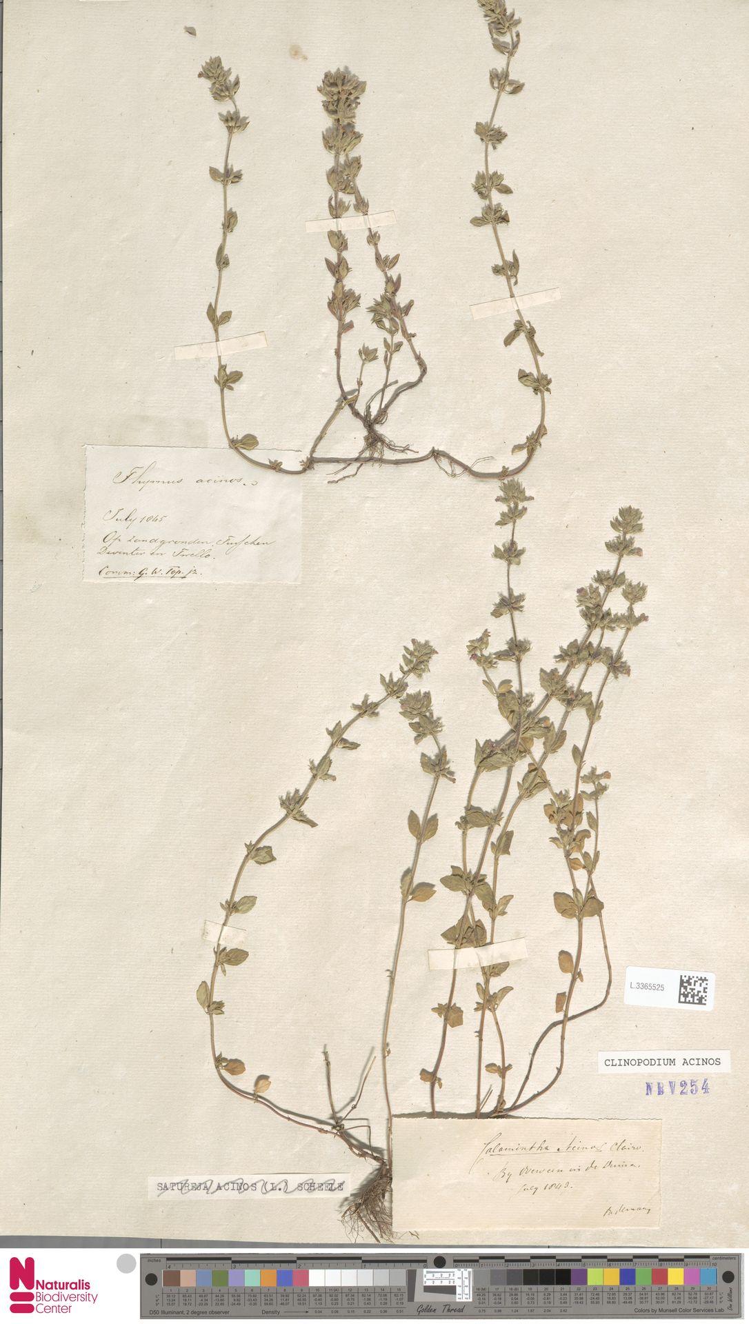 L.3365525 | Clinopodium acinos (L.) Kuntze