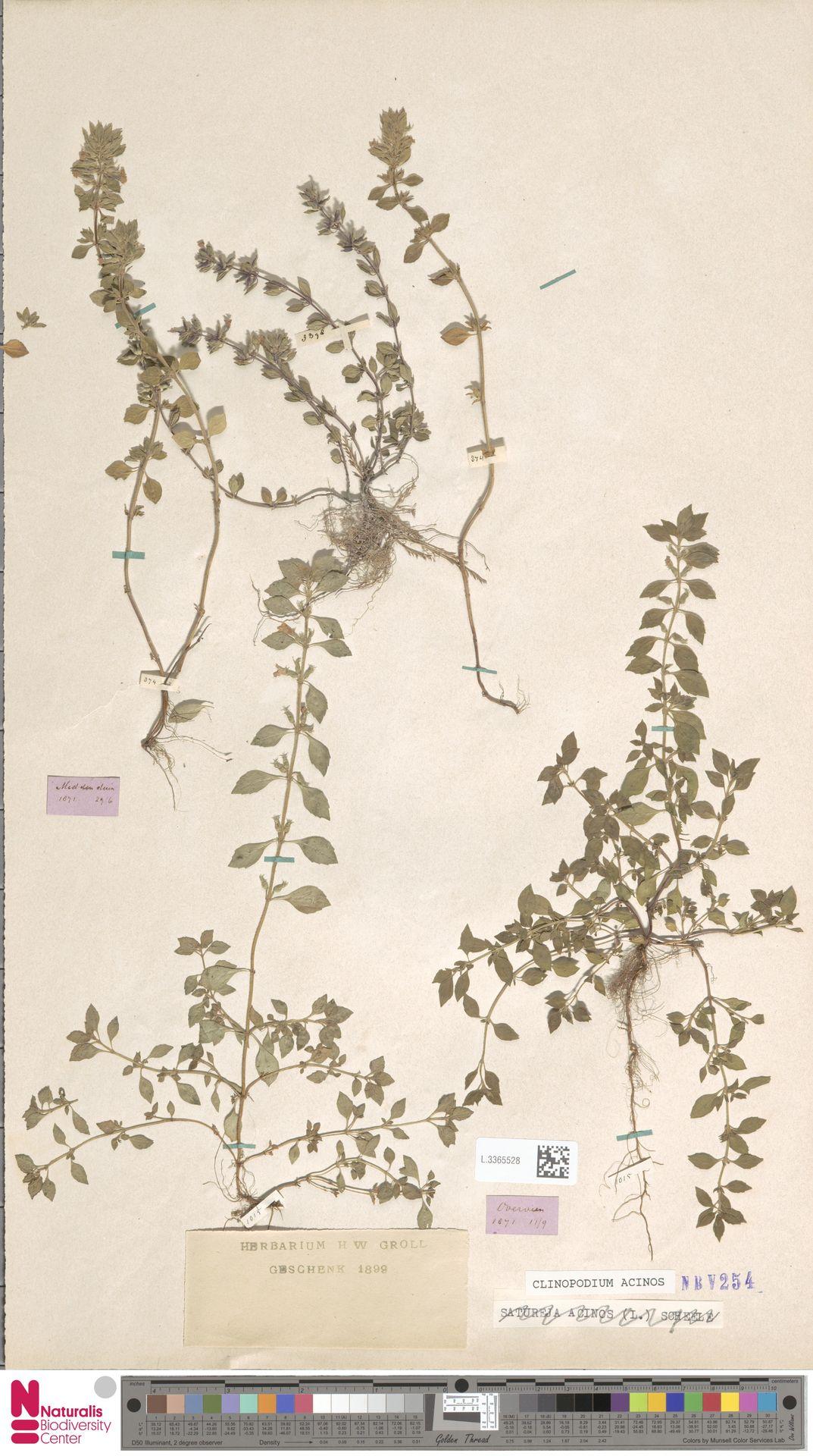 L.3365528 | Clinopodium acinos (L.) Kuntze