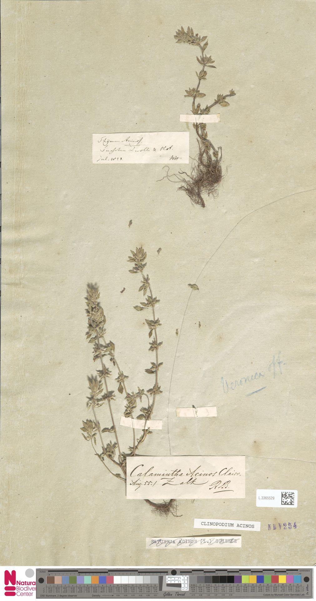 L.3365529 | Clinopodium acinos (L.) Kuntze
