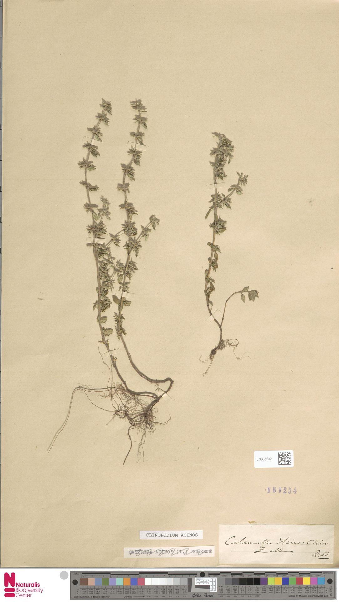 L.3365532 | Clinopodium acinos (L.) Kuntze