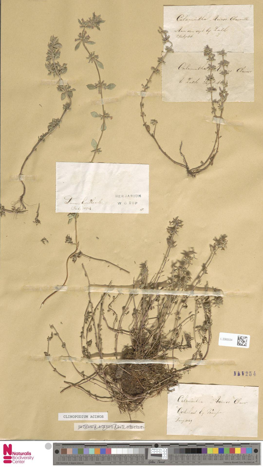 L.3365534   Clinopodium acinos (L.) Kuntze