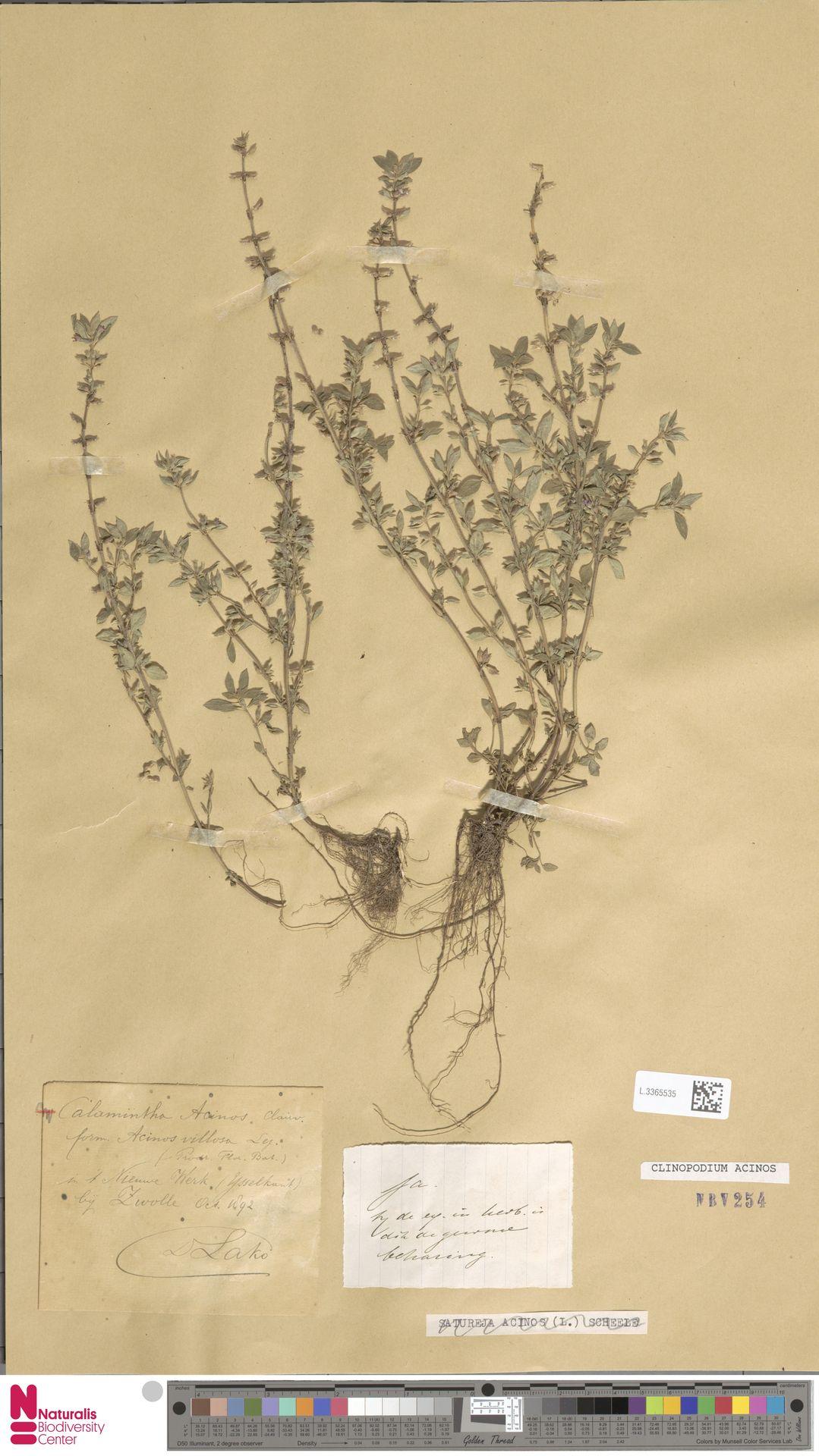 L.3365535 | Clinopodium acinos (L.) Kuntze