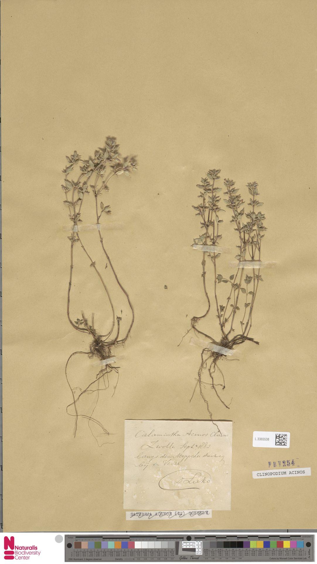 L.3365538 | Clinopodium acinos (L.) Kuntze