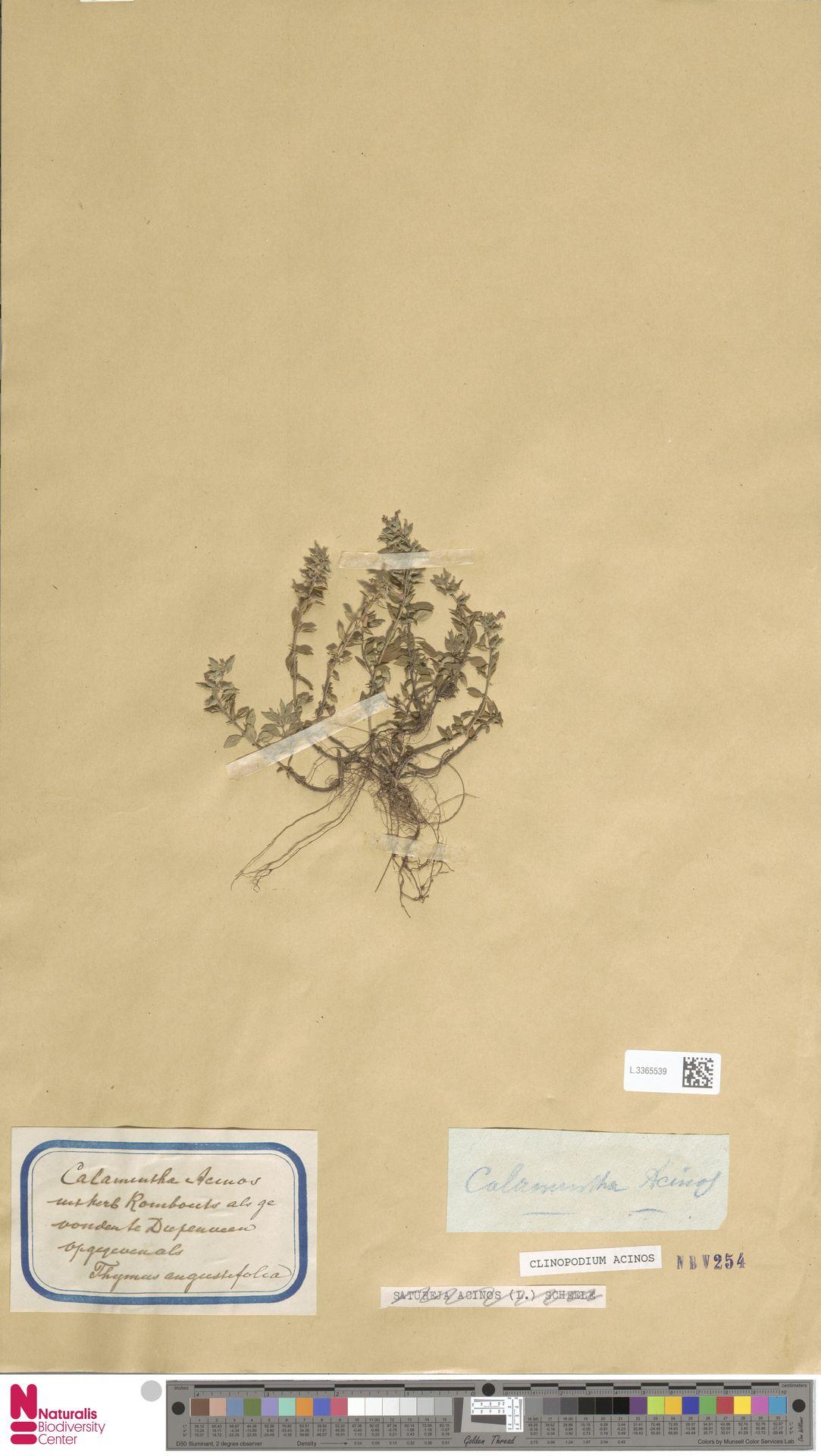 L.3365539   Clinopodium acinos (L.) Kuntze