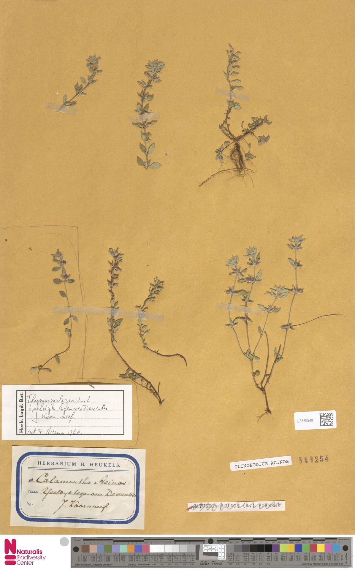 L.3365540   Clinopodium acinos (L.) Kuntze