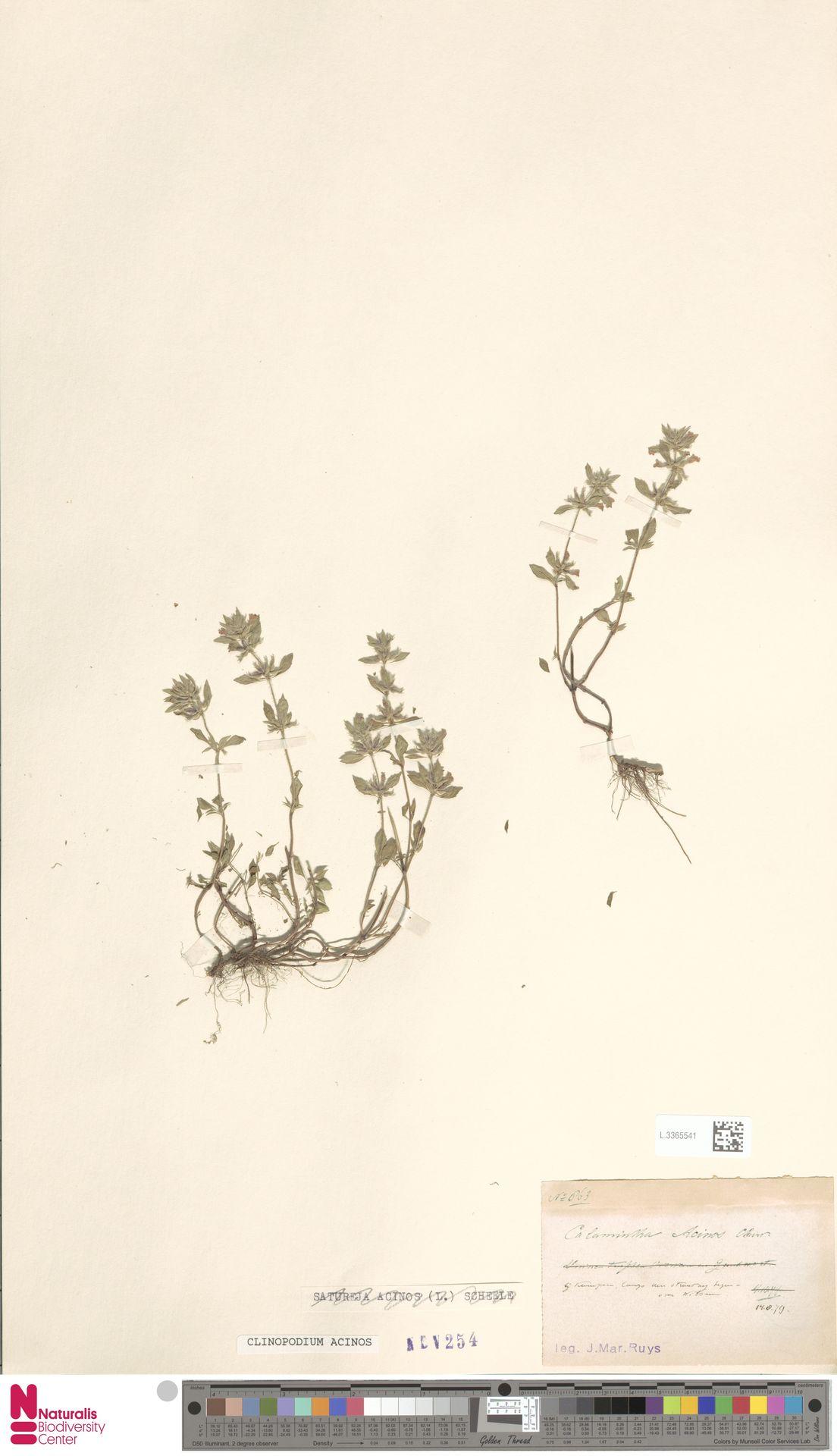 L.3365541 | Clinopodium acinos (L.) Kuntze