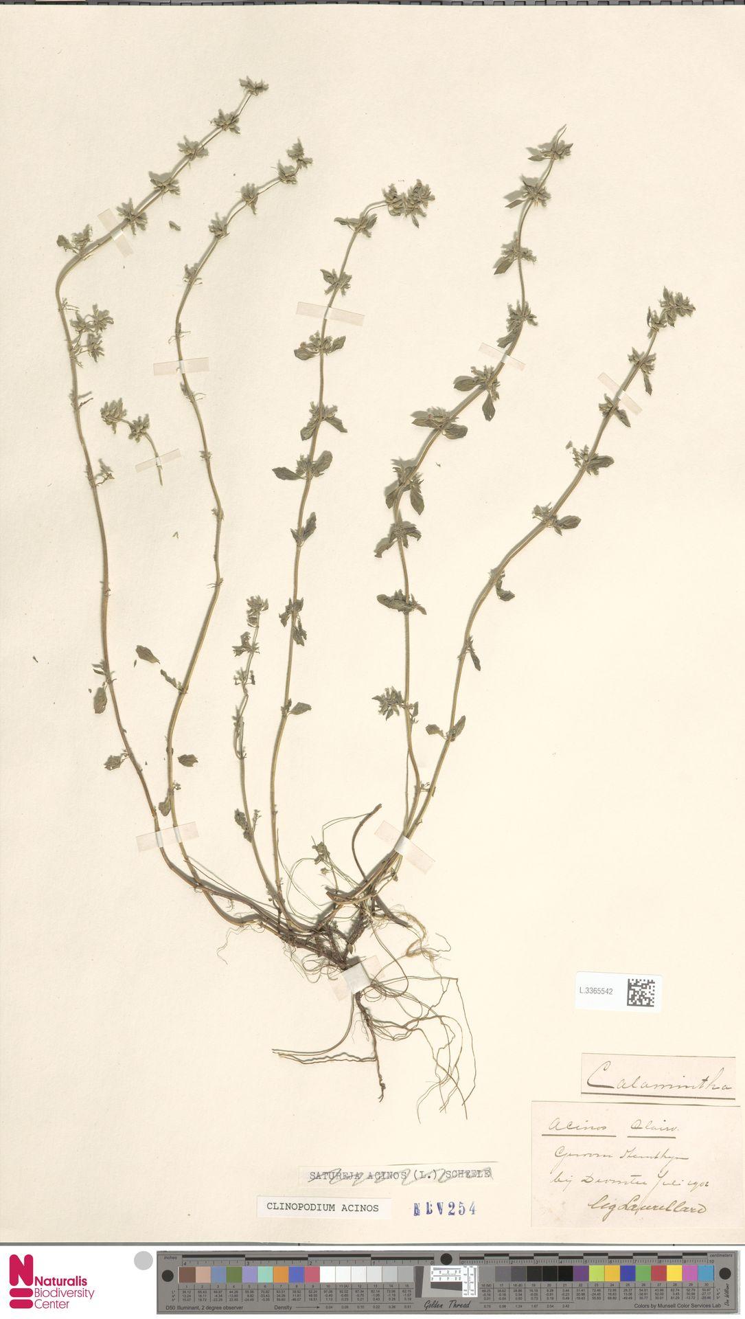 L.3365542 | Clinopodium acinos (L.) Kuntze