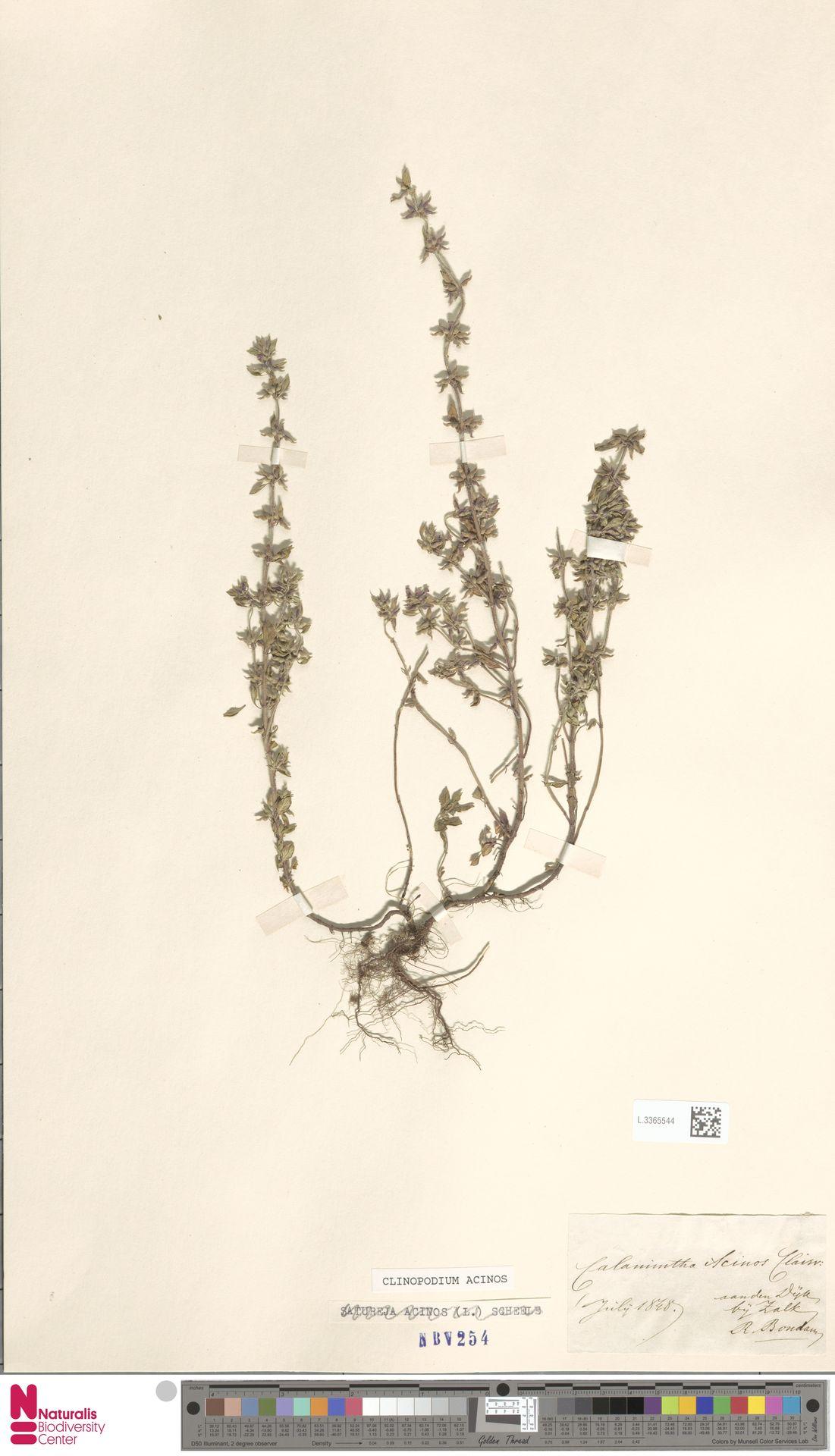 L.3365544   Clinopodium acinos (L.) Kuntze