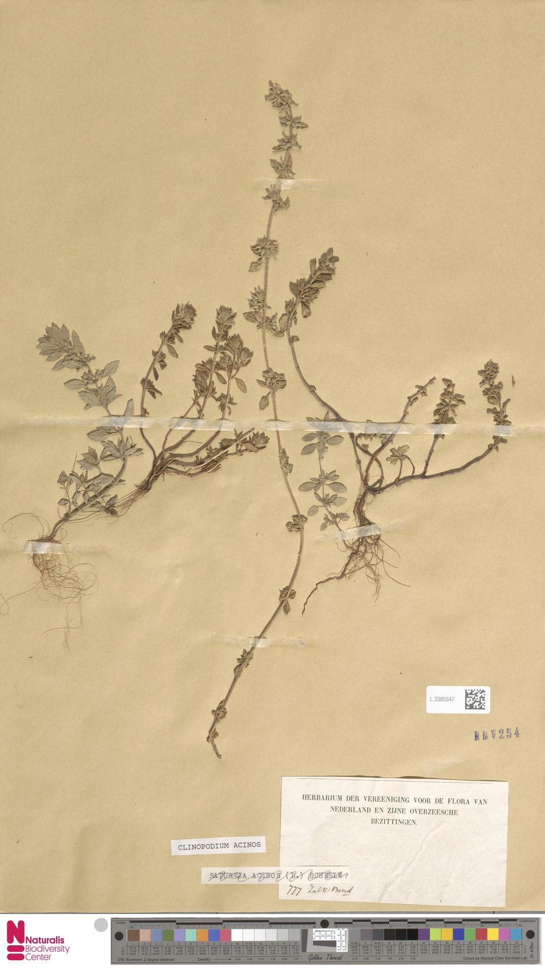 L.3365547 | Clinopodium acinos (L.) Kuntze