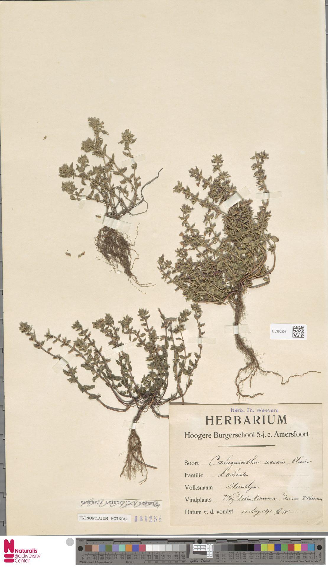 L.3365552 | Clinopodium acinos (L.) Kuntze