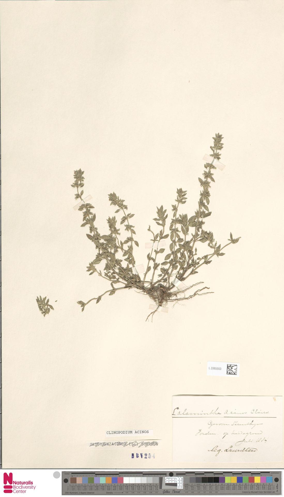 L.3365553 | Clinopodium acinos (L.) Kuntze
