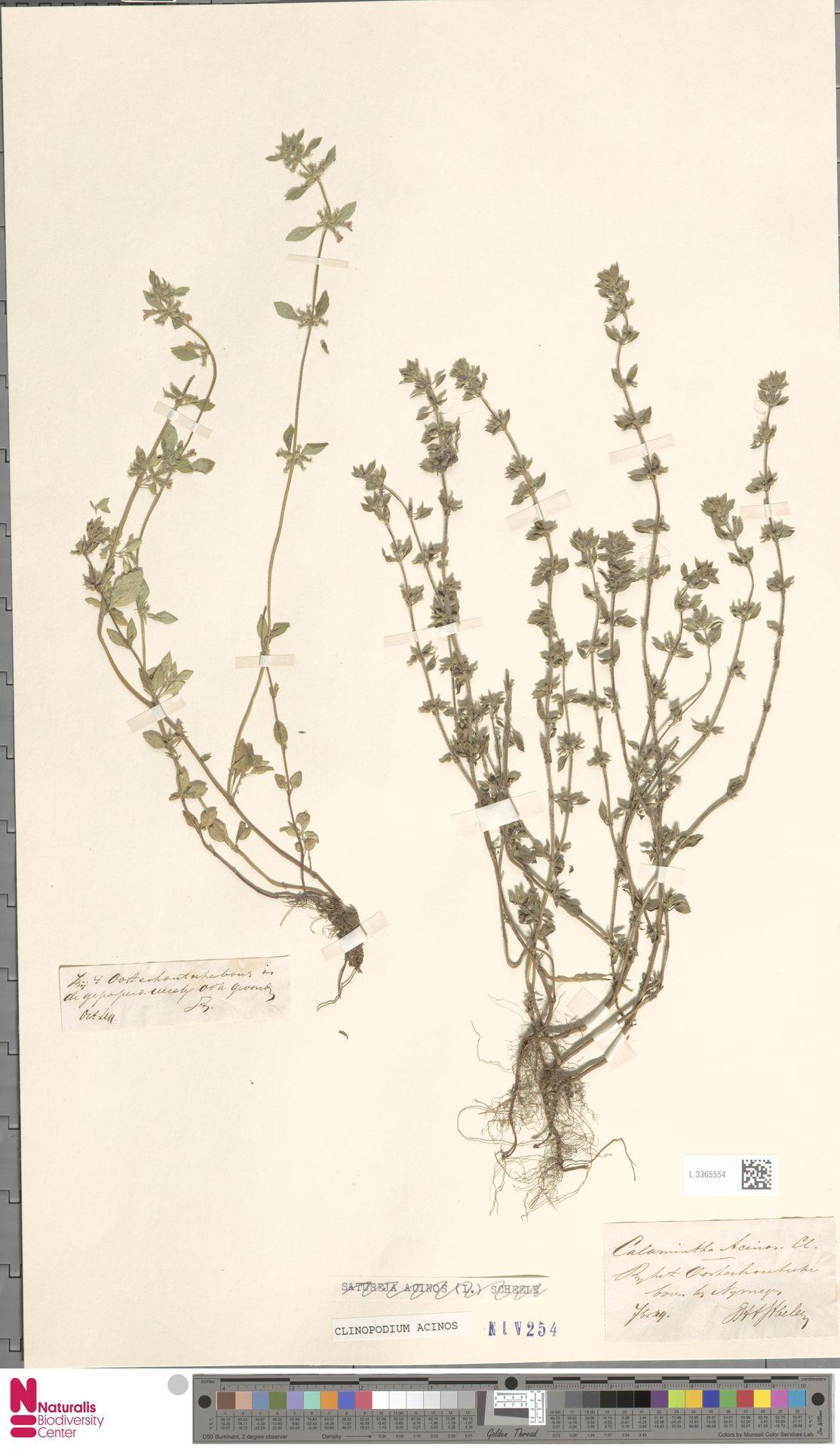L.3365554 | Clinopodium acinos (L.) Kuntze