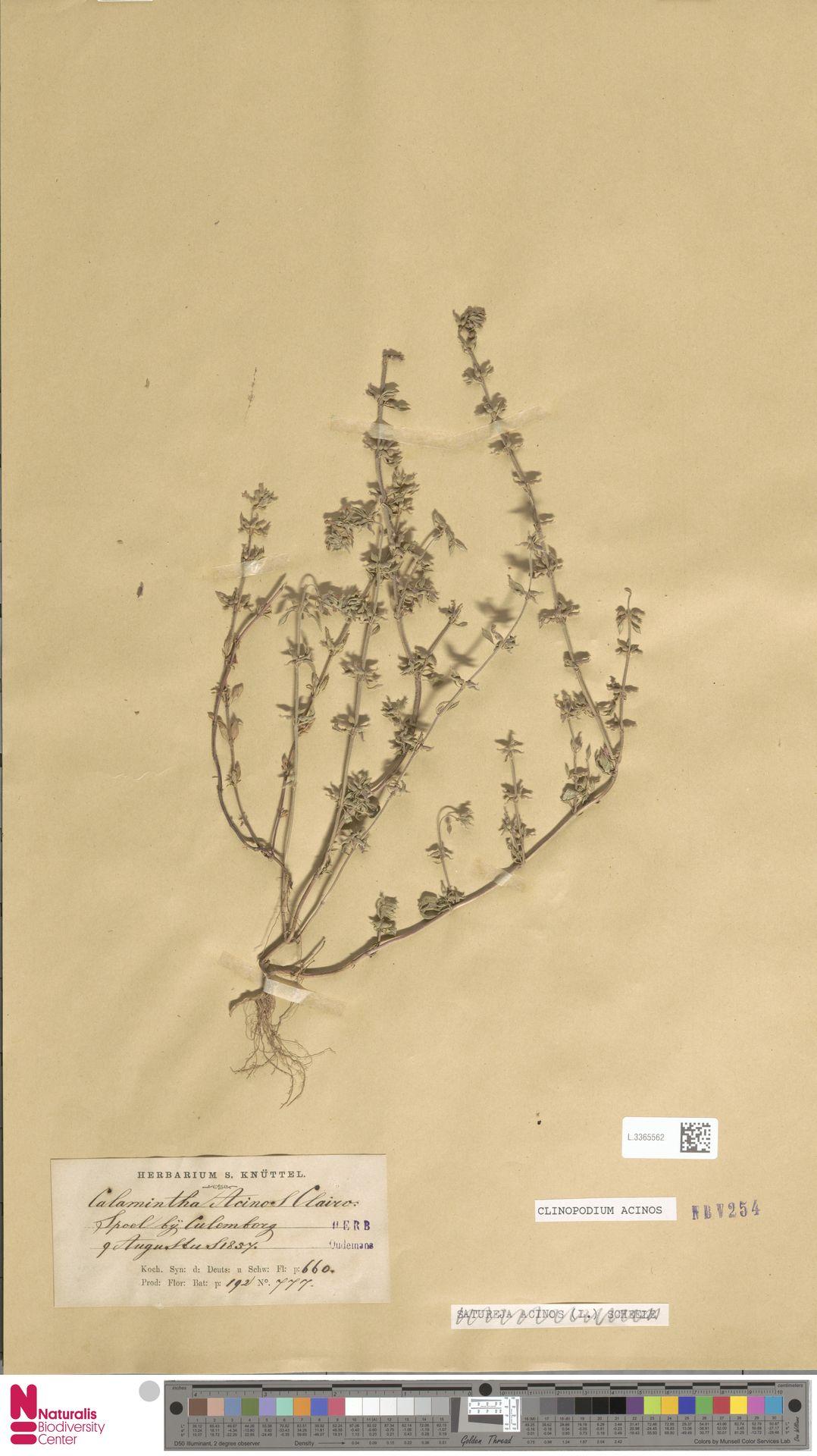 L.3365562 | Clinopodium acinos (L.) Kuntze