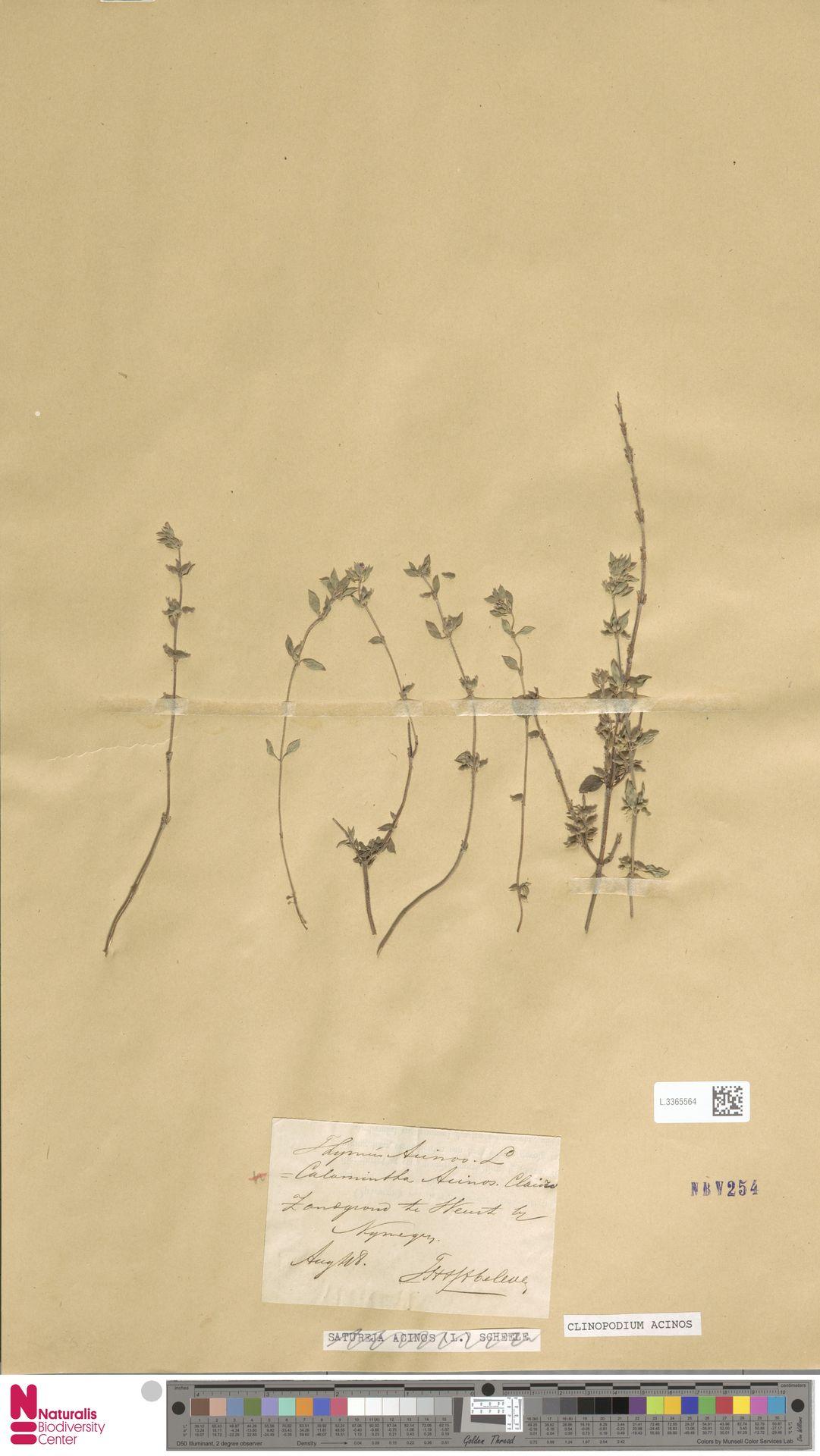 L.3365564   Clinopodium acinos (L.) Kuntze