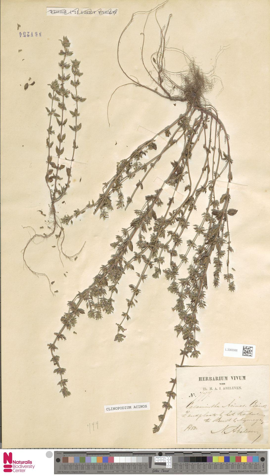 L.3365566 | Clinopodium acinos (L.) Kuntze