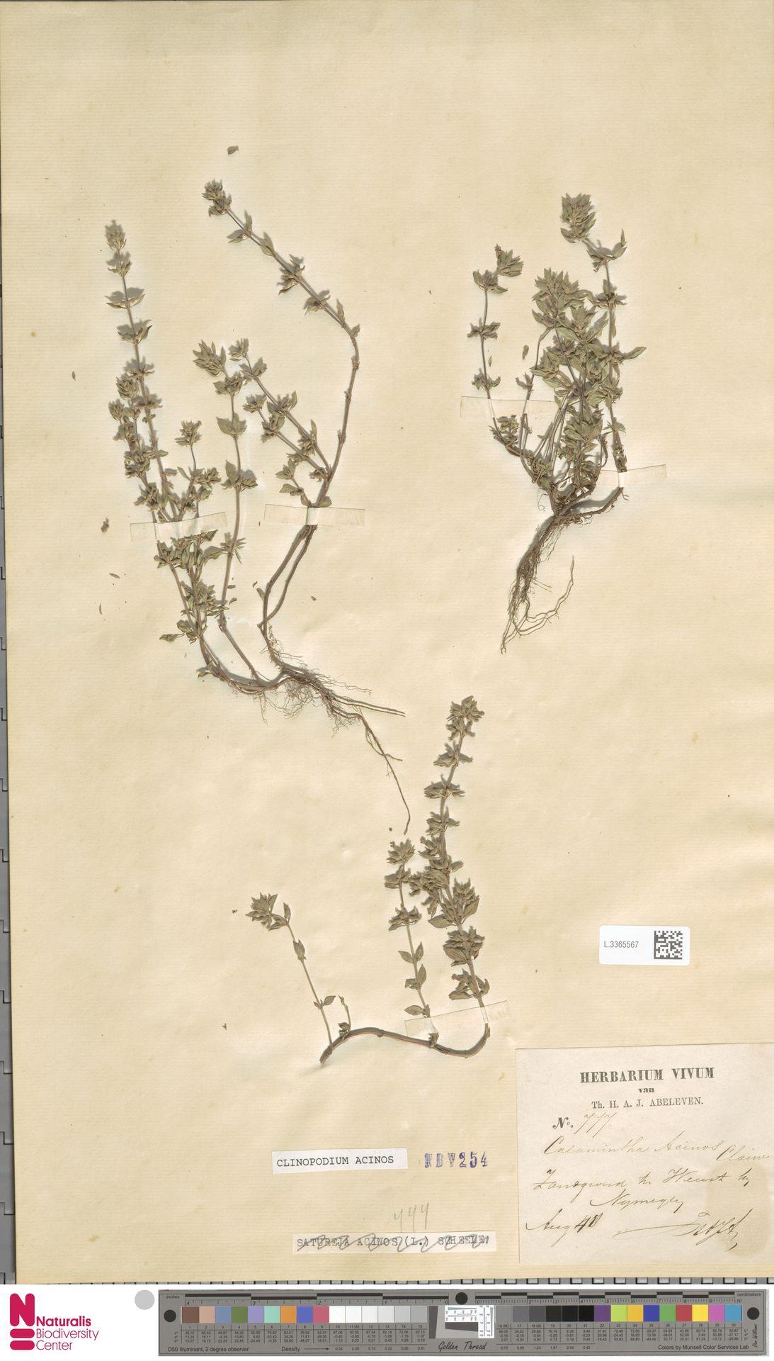 L.3365567 | Clinopodium acinos (L.) Kuntze