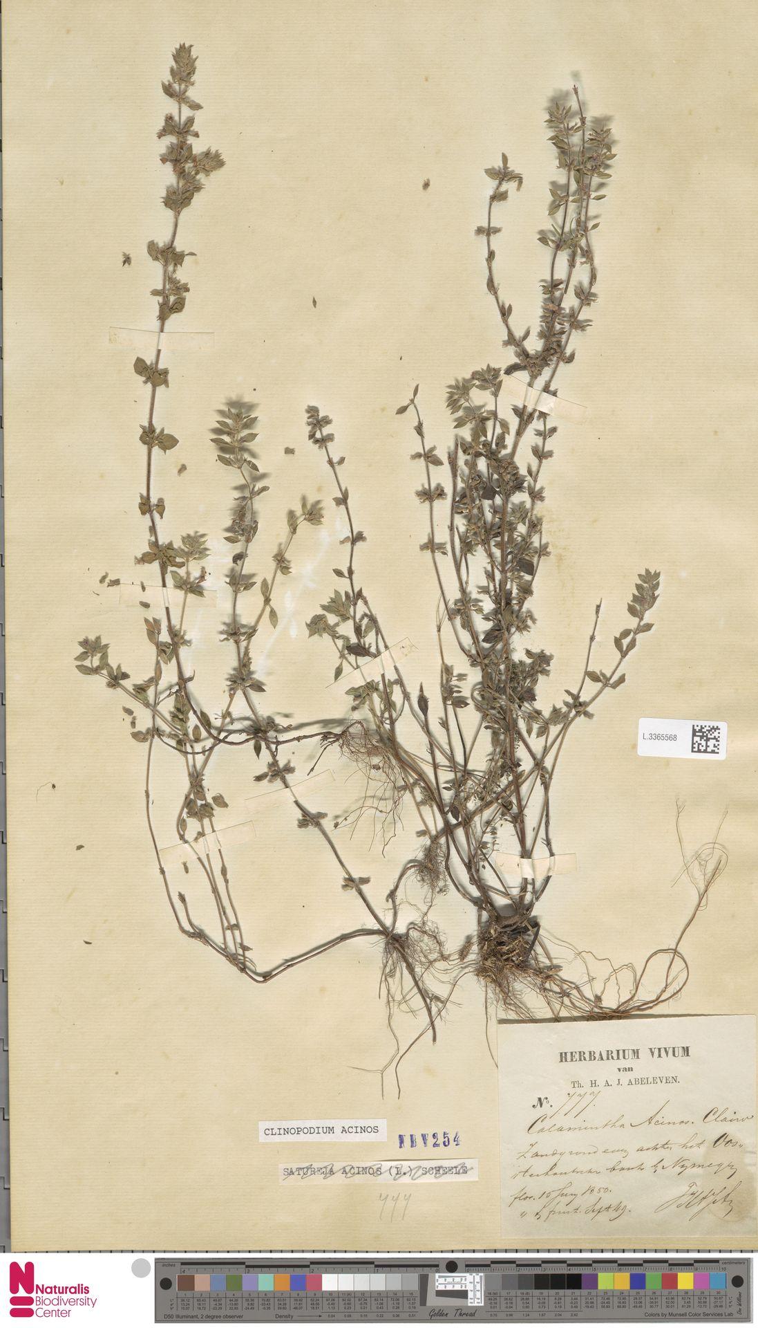 L.3365568   Clinopodium acinos (L.) Kuntze