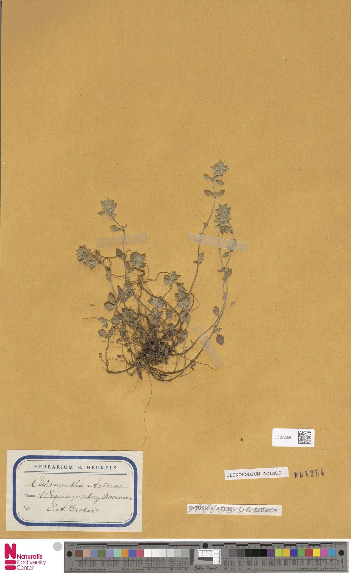 L.3365569 | Clinopodium acinos (L.) Kuntze