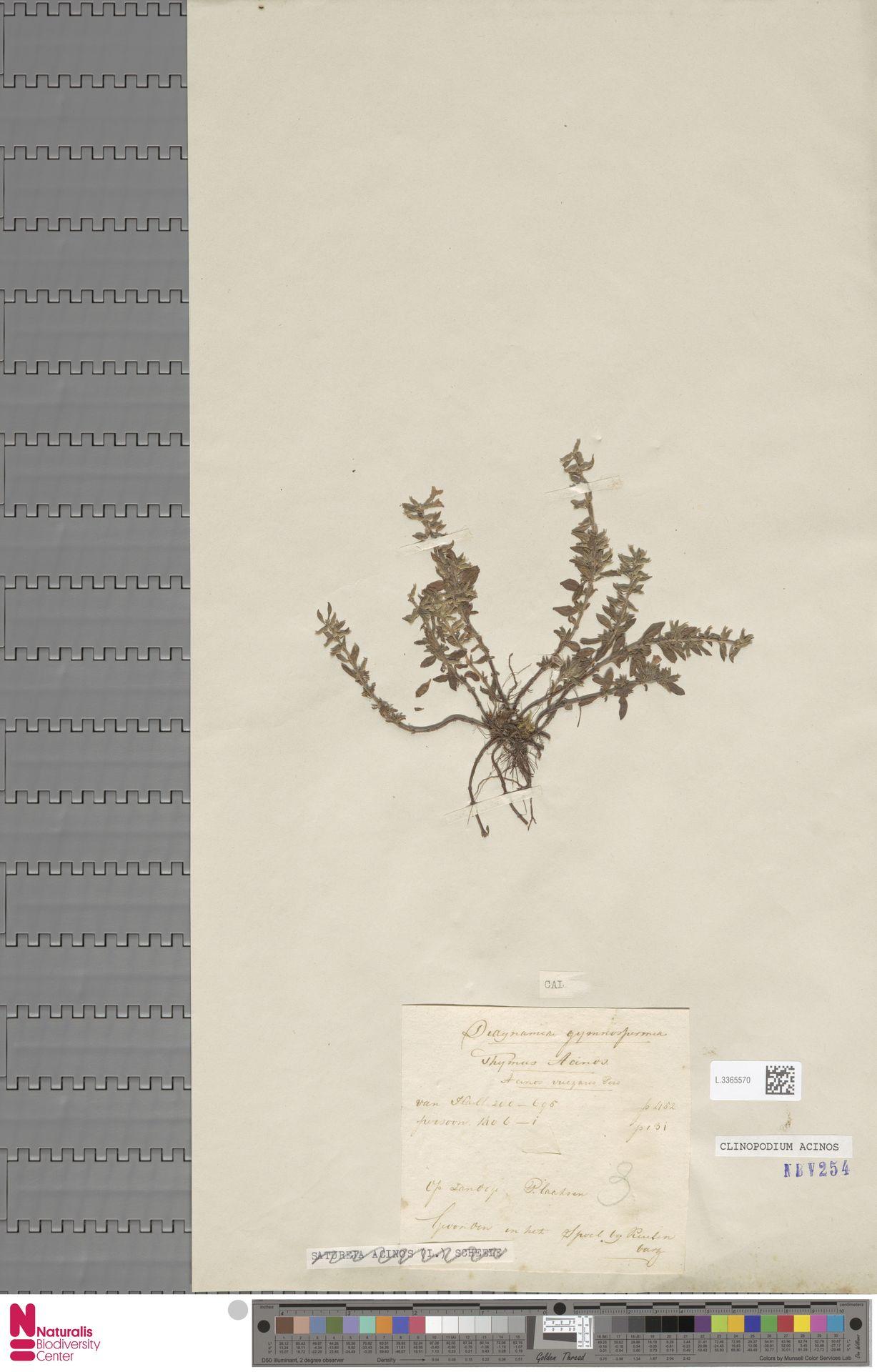 L.3365570 | Clinopodium acinos (L.) Kuntze