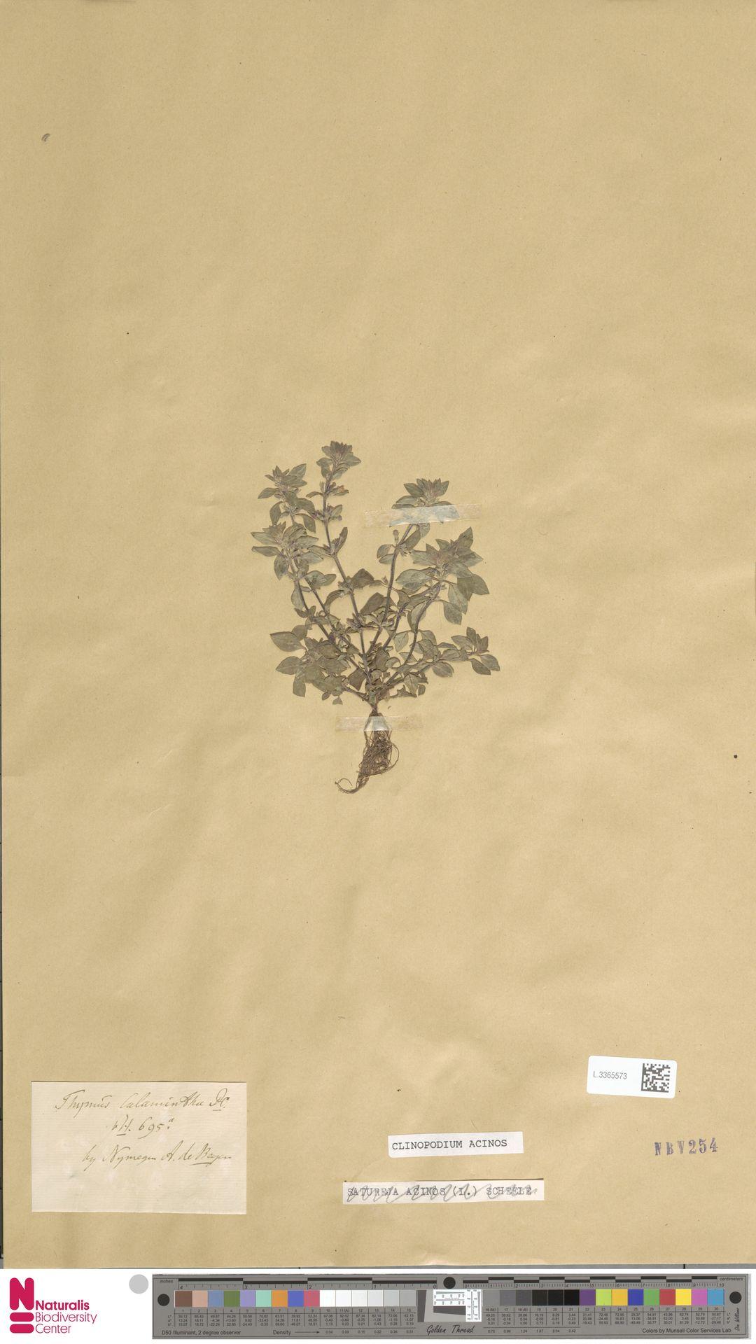 L.3365573   Clinopodium acinos (L.) Kuntze